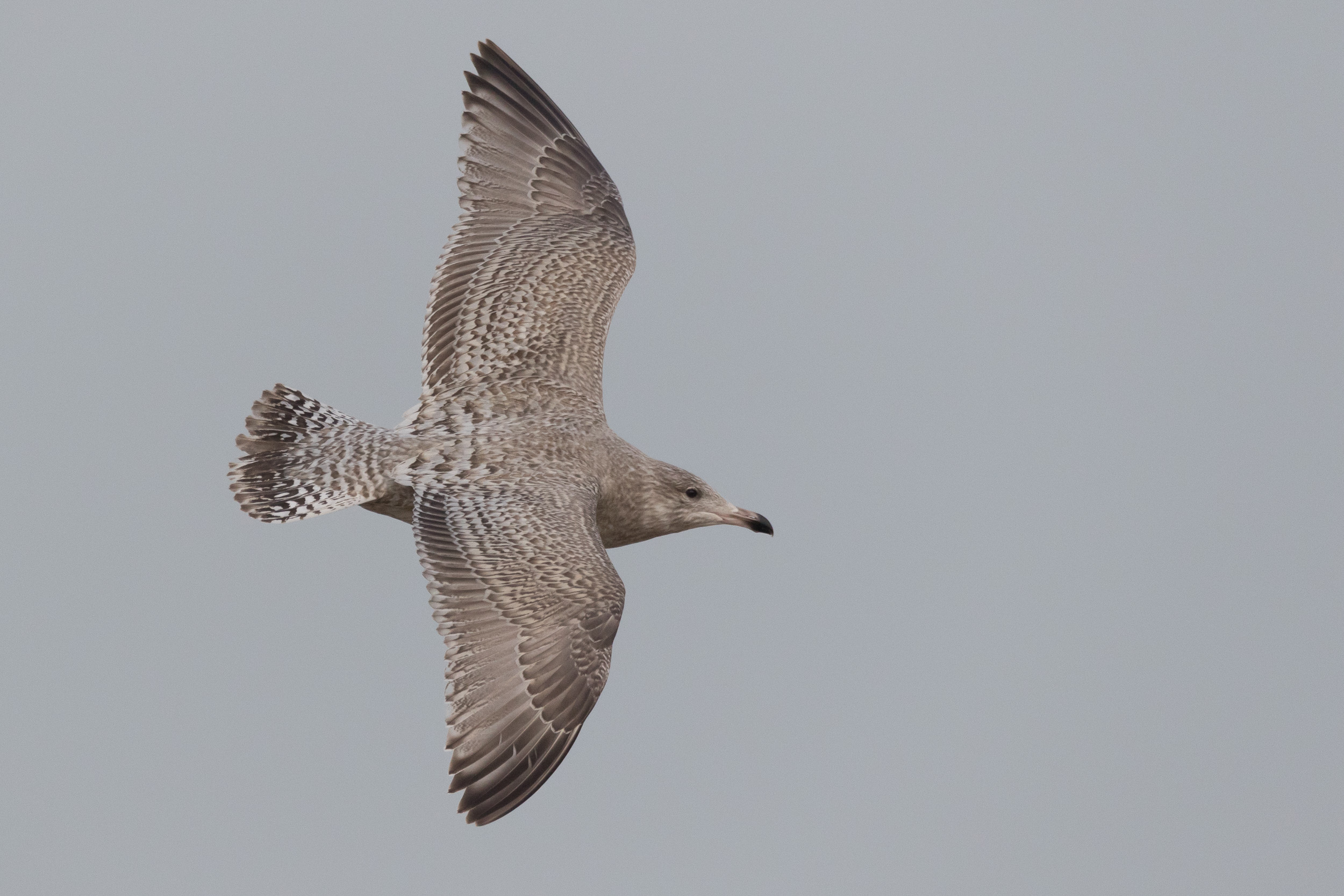 Glaucous x Herring Hybrid, a cracker of a bird and a nice addition to the flock of white-wingers