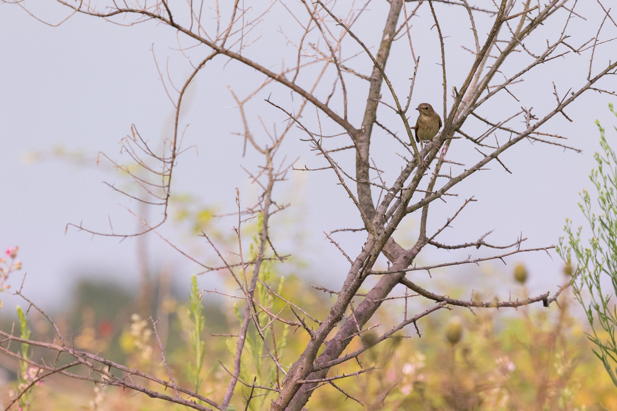 Thrush Nightingale (Luscinia luscinia