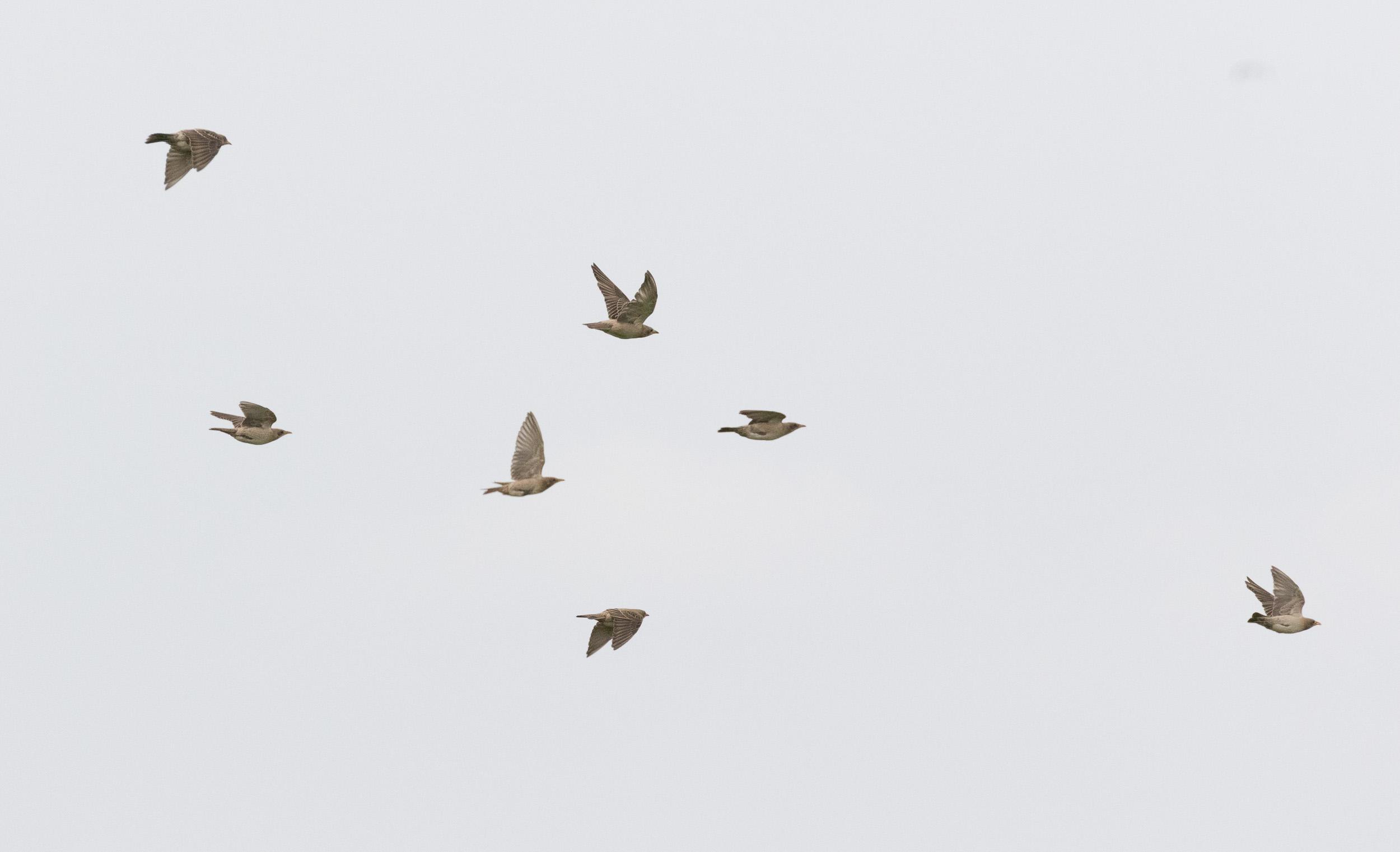 Rosy Starlings (Pastor roseus