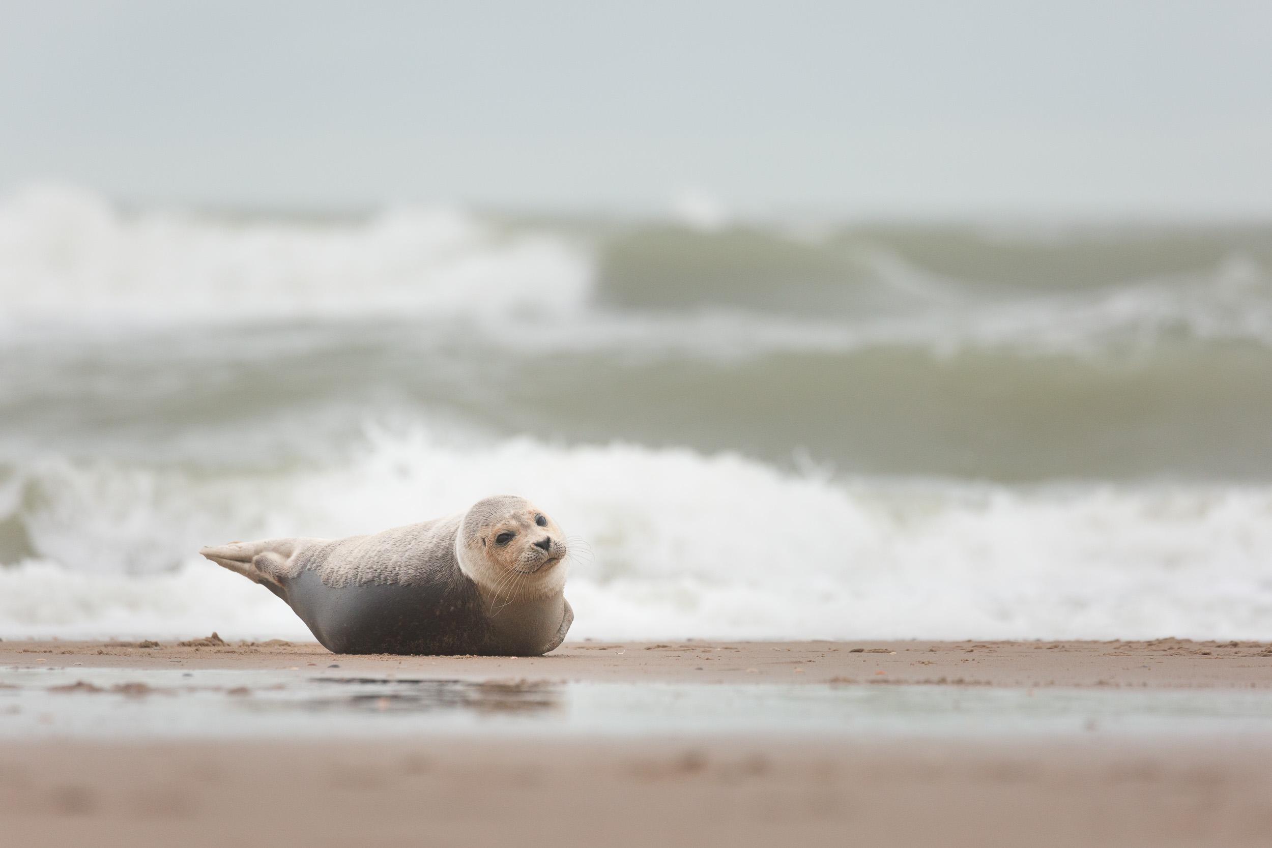 Harbor Seal (Phoca vitulina)