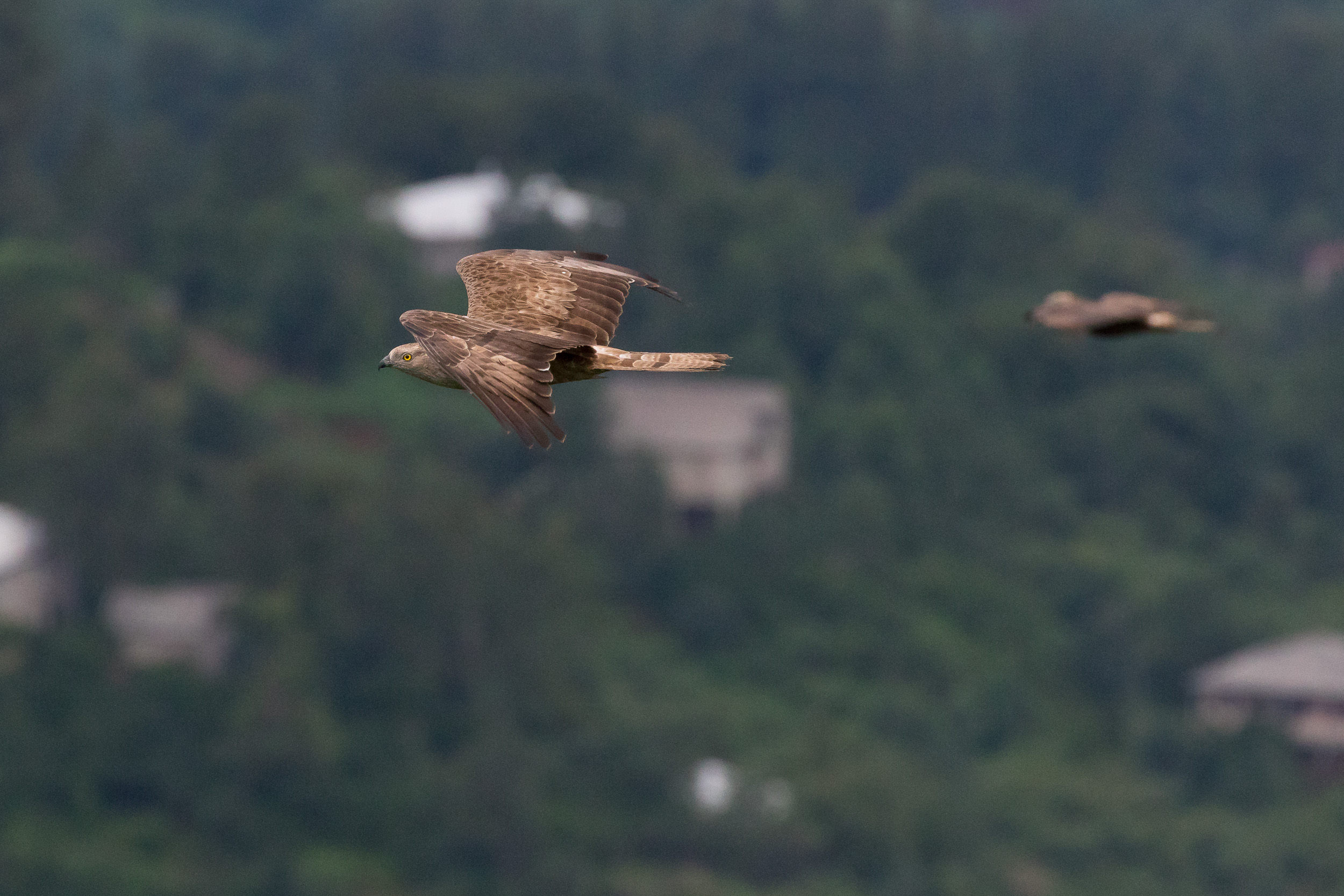 Batumi Raptor Count - Raptor Migration