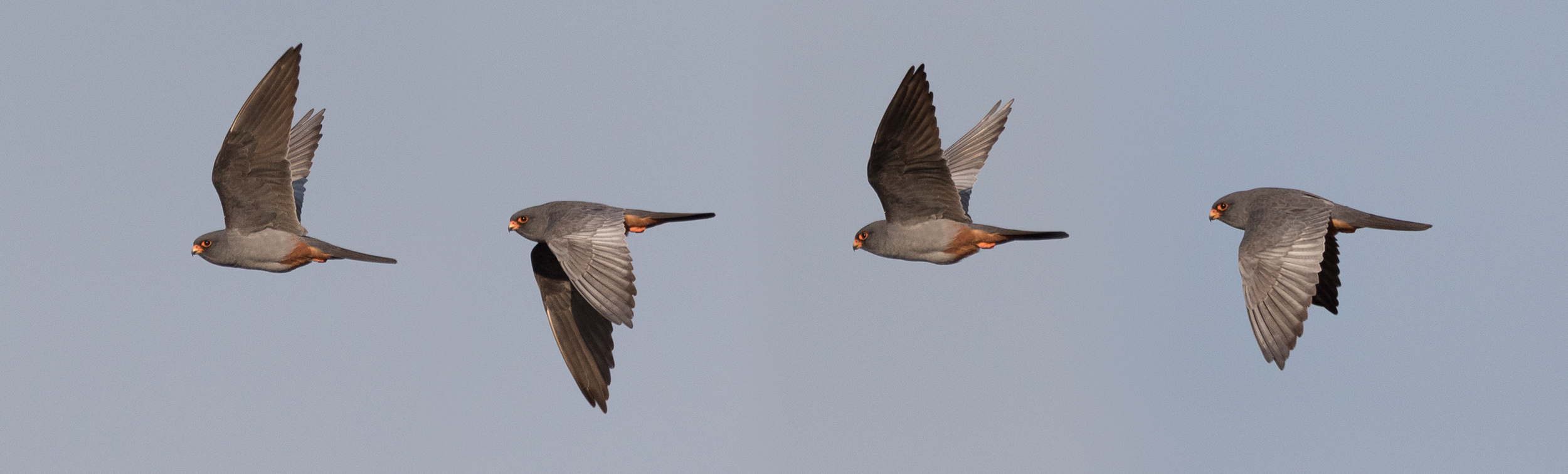 Red-footed falcon (Falco vespertinus) adult male - 12-05-2016 - Compilation - Fochteloërveen