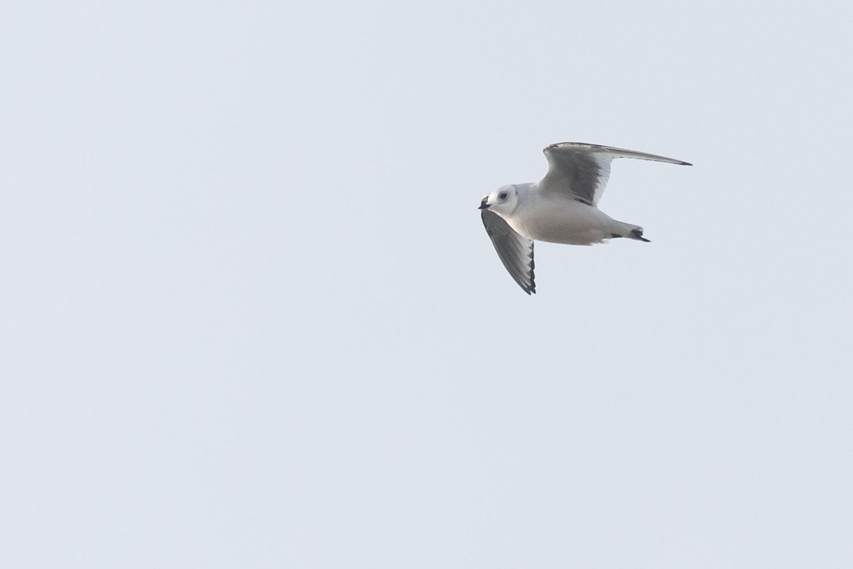Ross' Gull (Rhodostethia rosea)