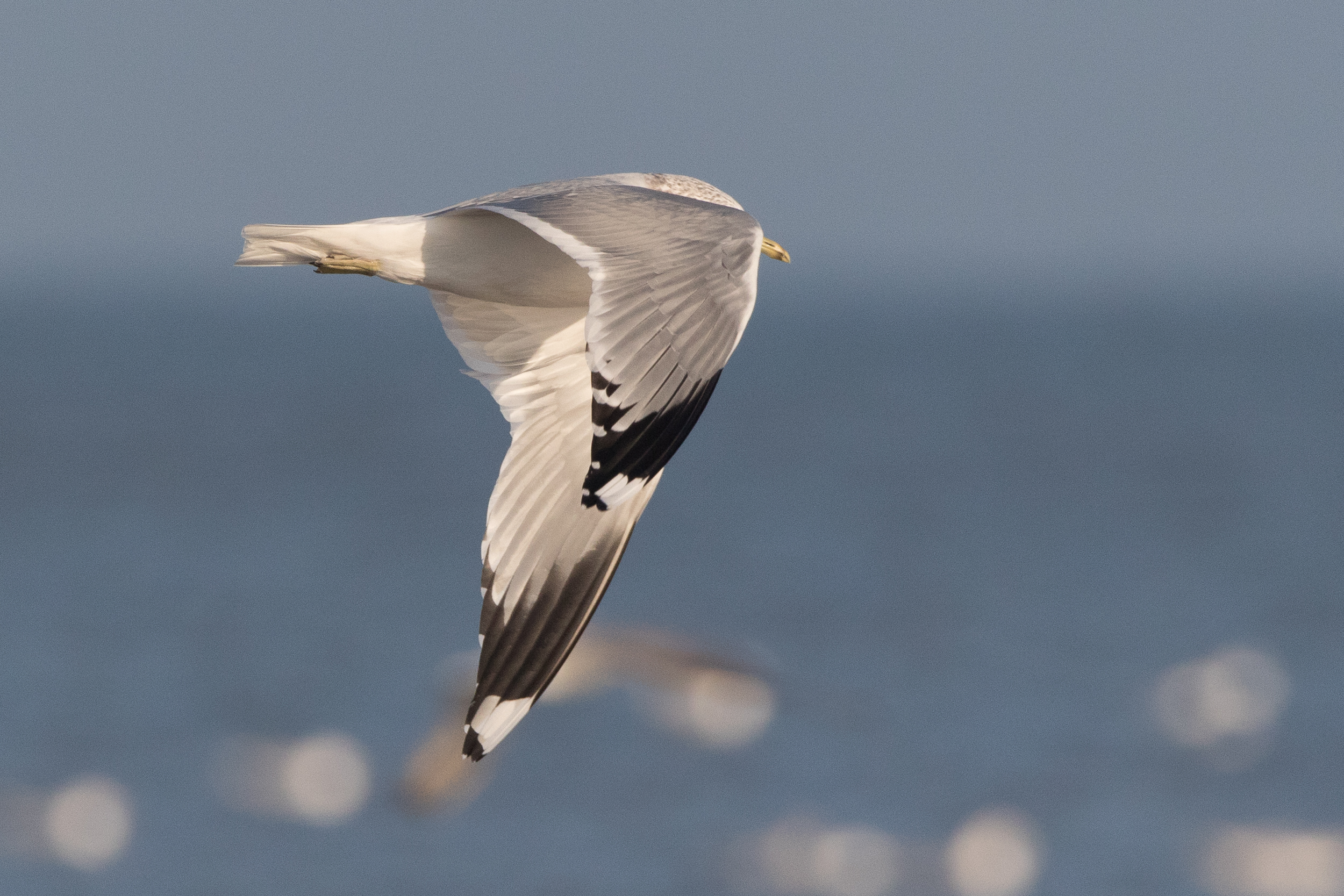 20170121-Common Gull Adult-02.jpg