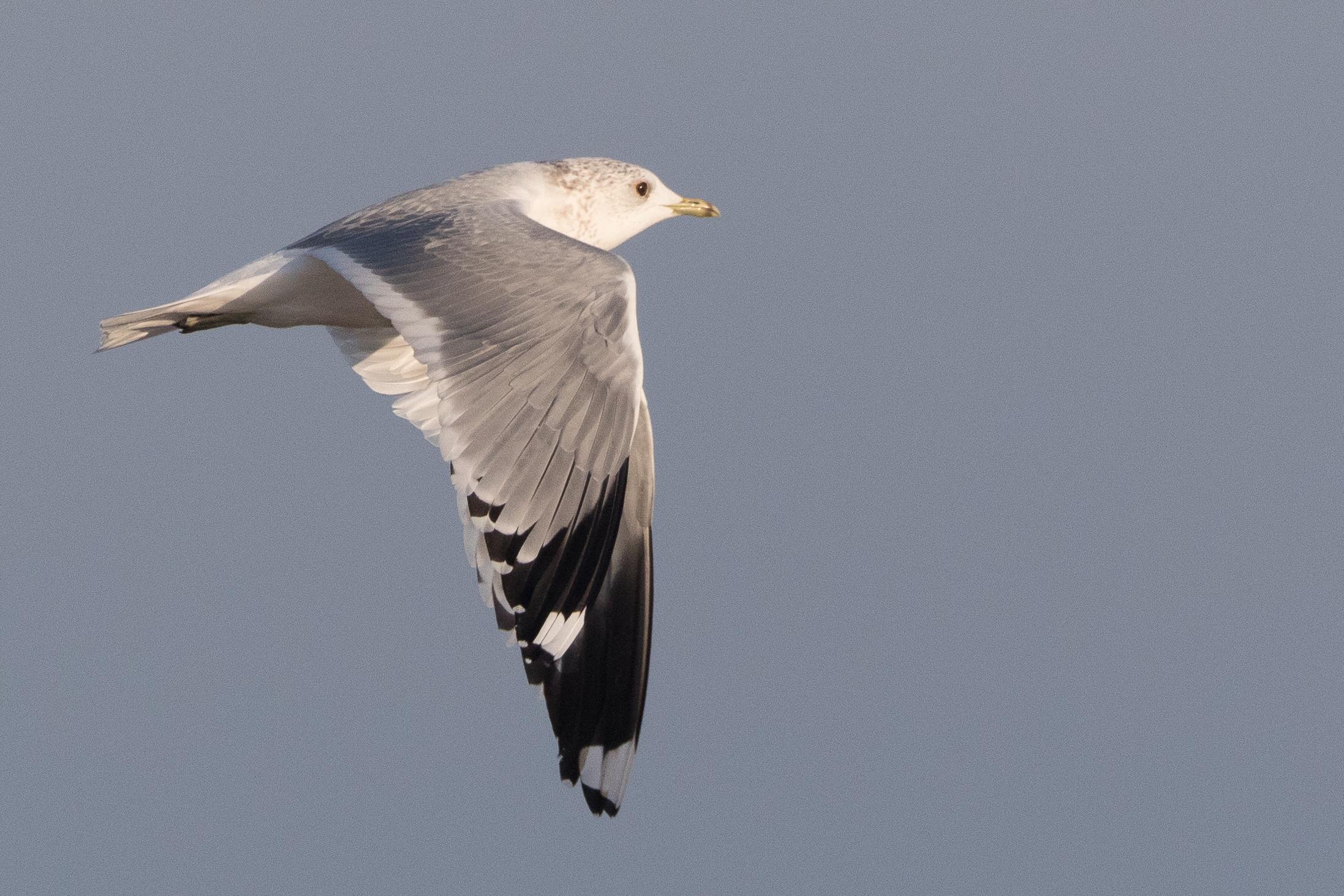 20170121-Common Gull Adult-04.jpg