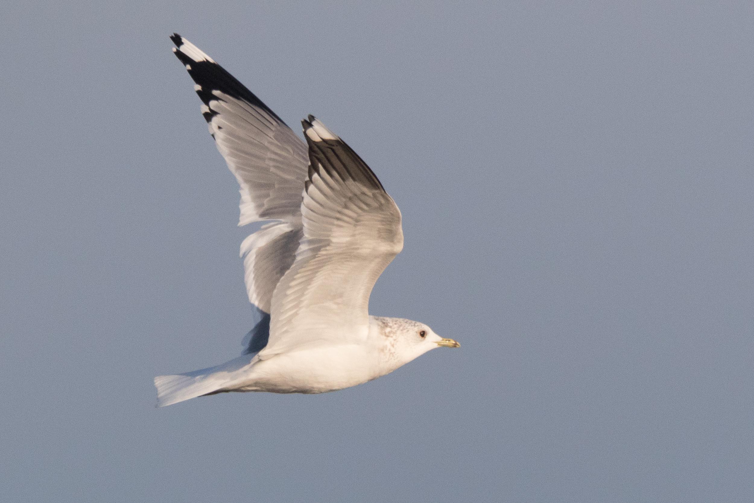 20170121-Common Gull Adult-03.jpg