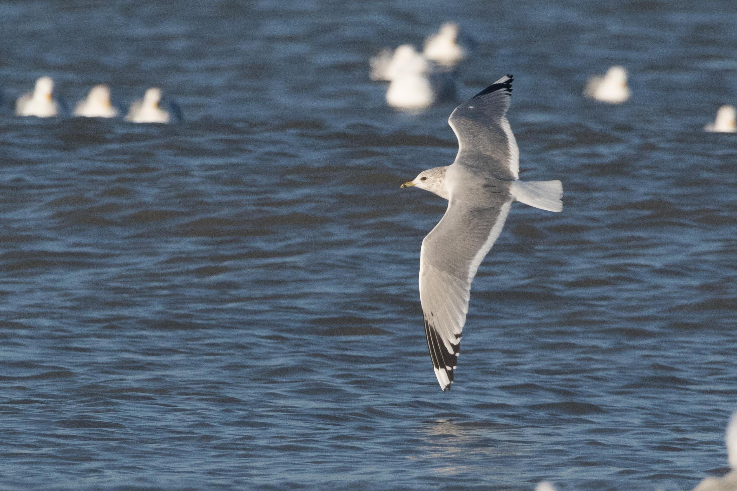 20170121-Common Gull Adult-05.jpg