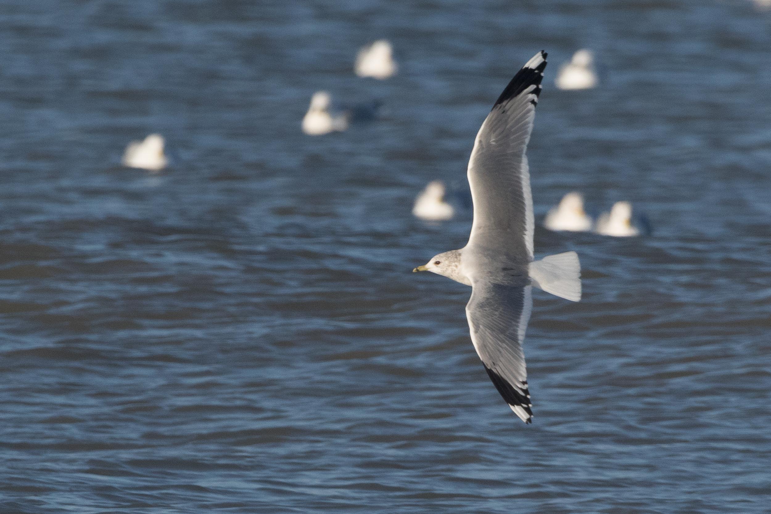 20170121-Common Gull Adult-06.jpg