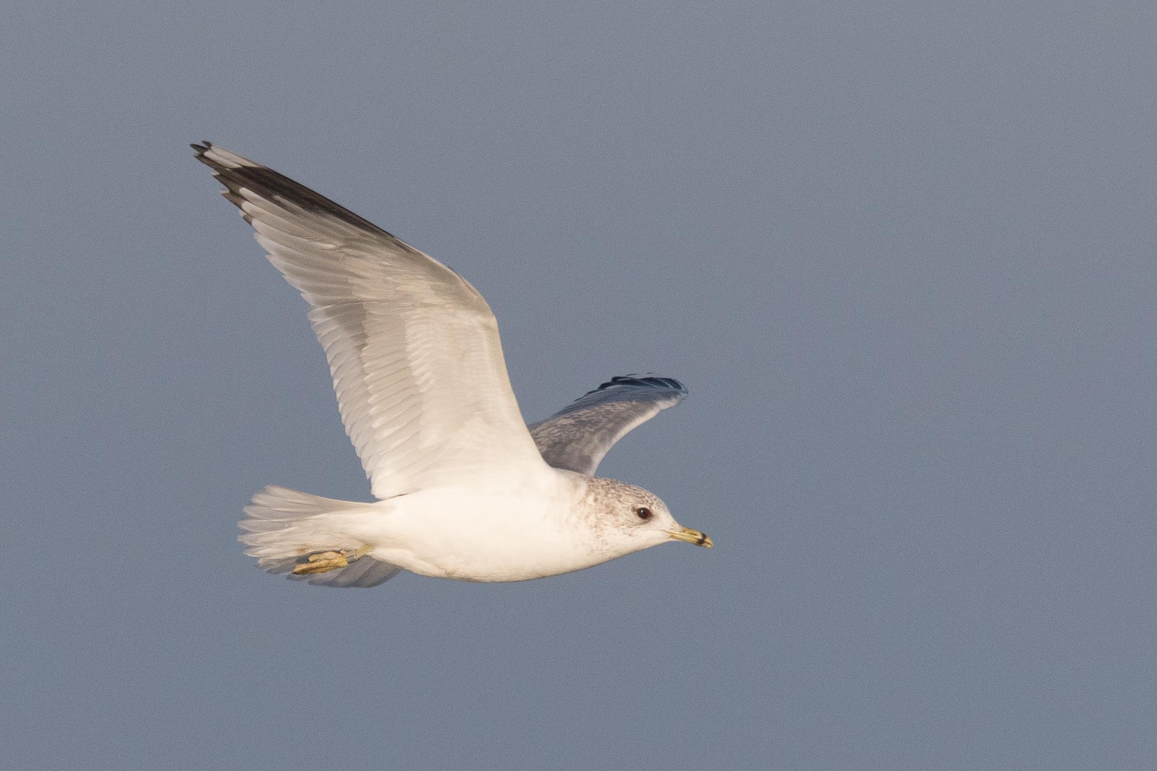 20170121-Common Gull Adult-08.jpg