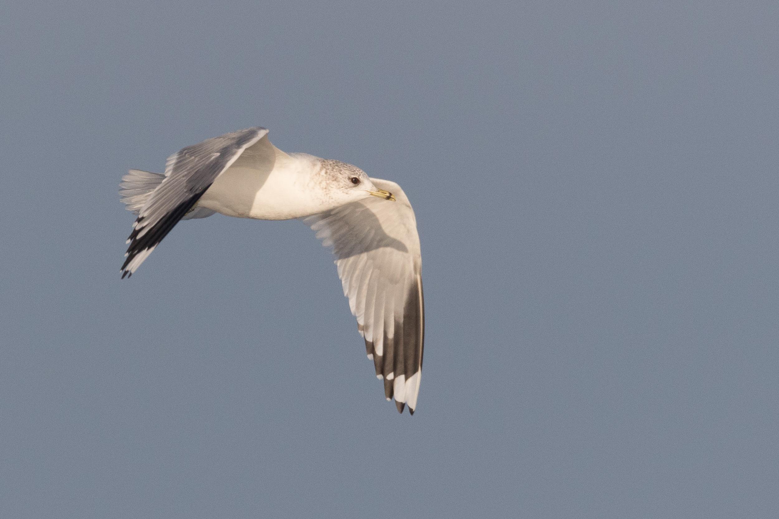 20170121-Common Gull Adult-07.jpg