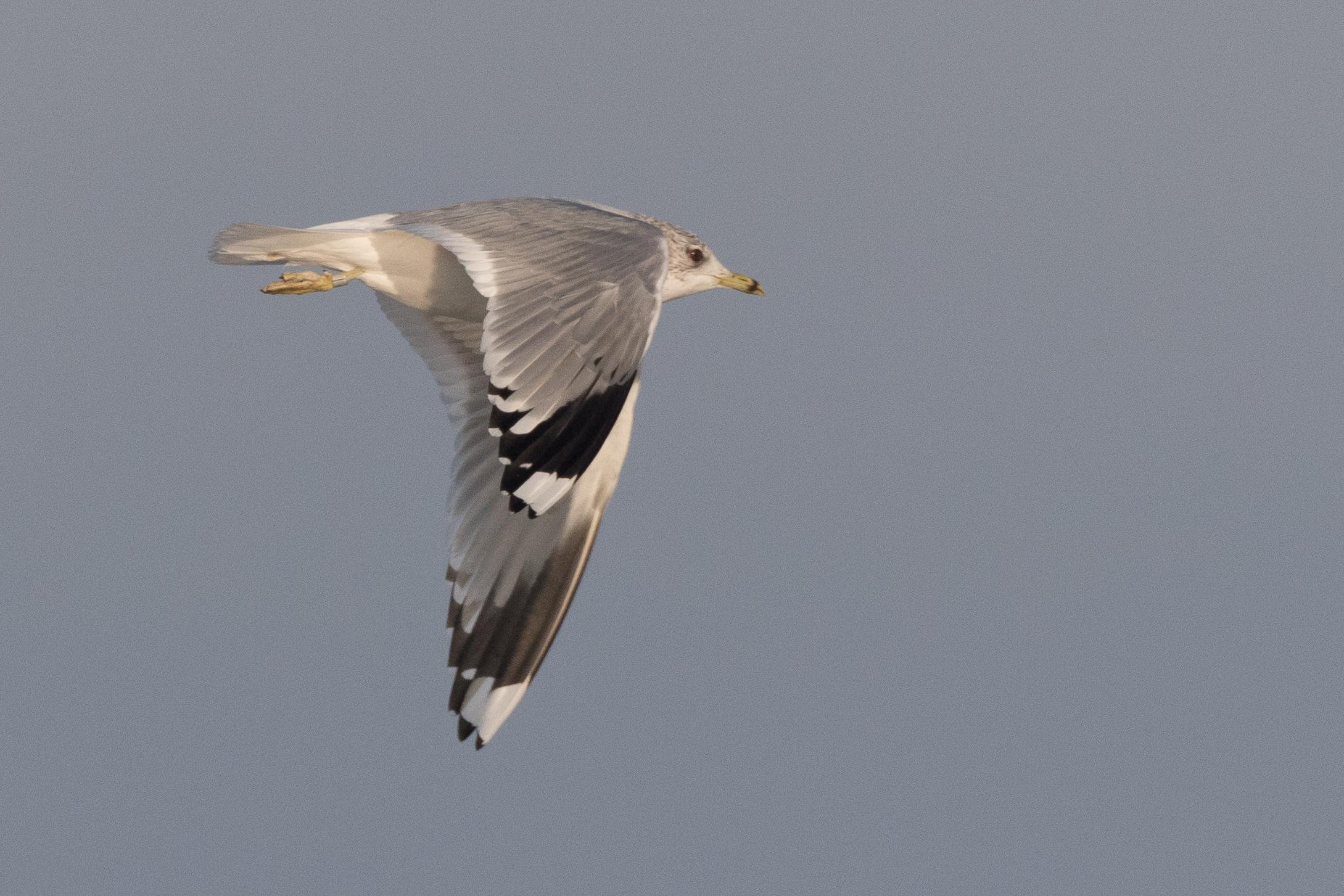 20170121-Common Gull Adult-10.jpg