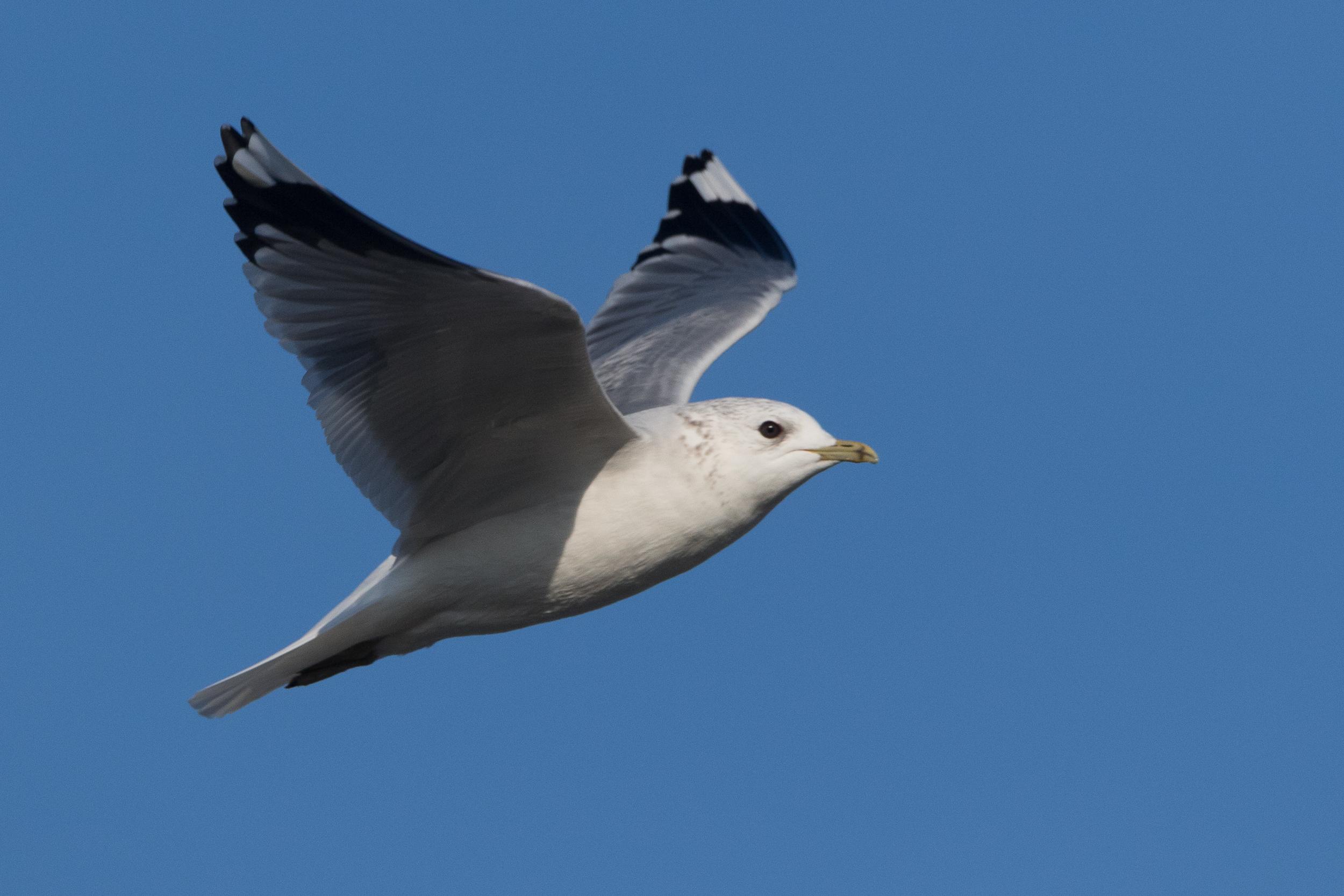 20170121-Common Gull Adult-11.jpg