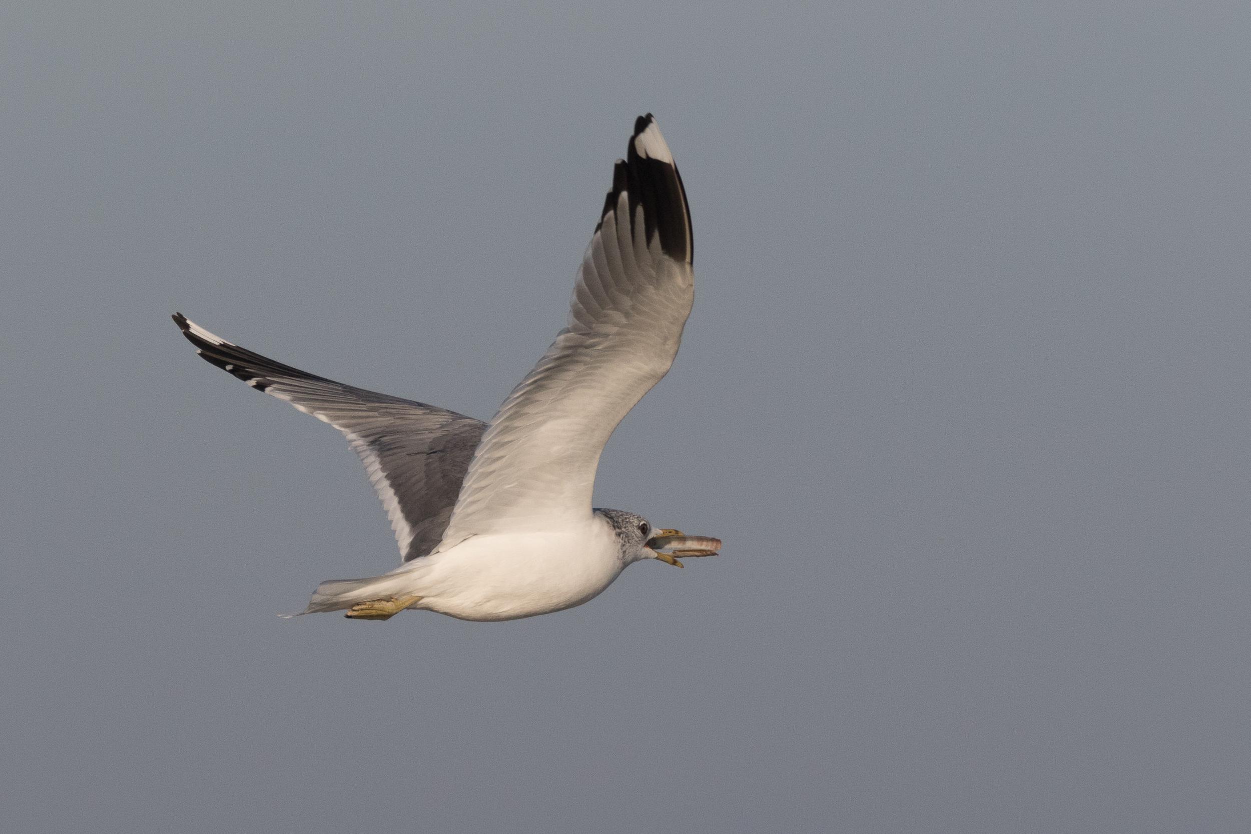 20170121-Common Gull Adult-14.jpg