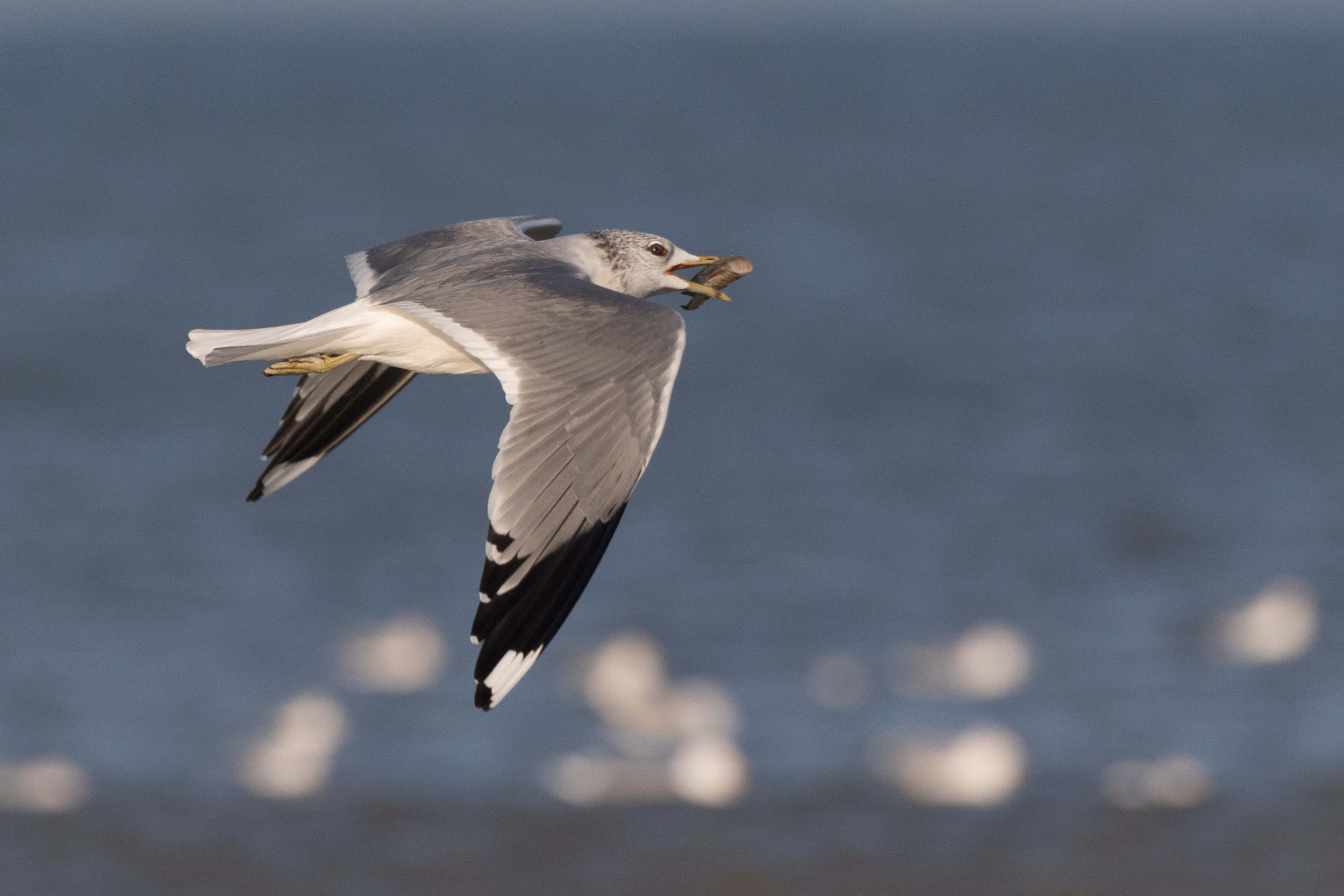 20170121-Common Gull Adult-13.jpg