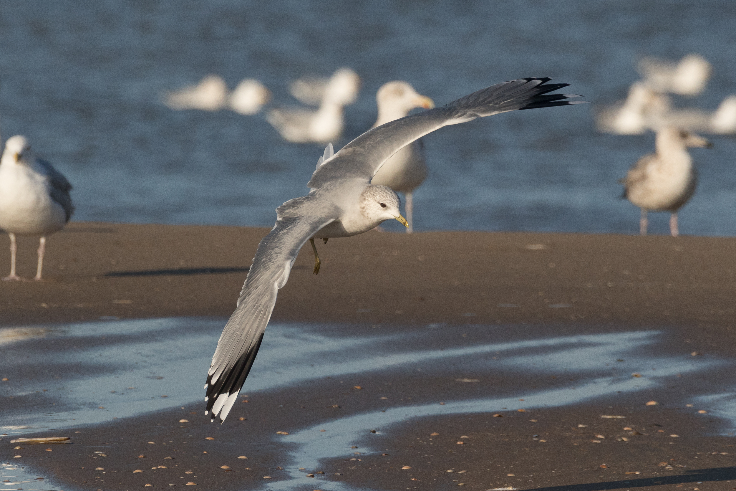 20170121-Common Gull Adult-17.jpg