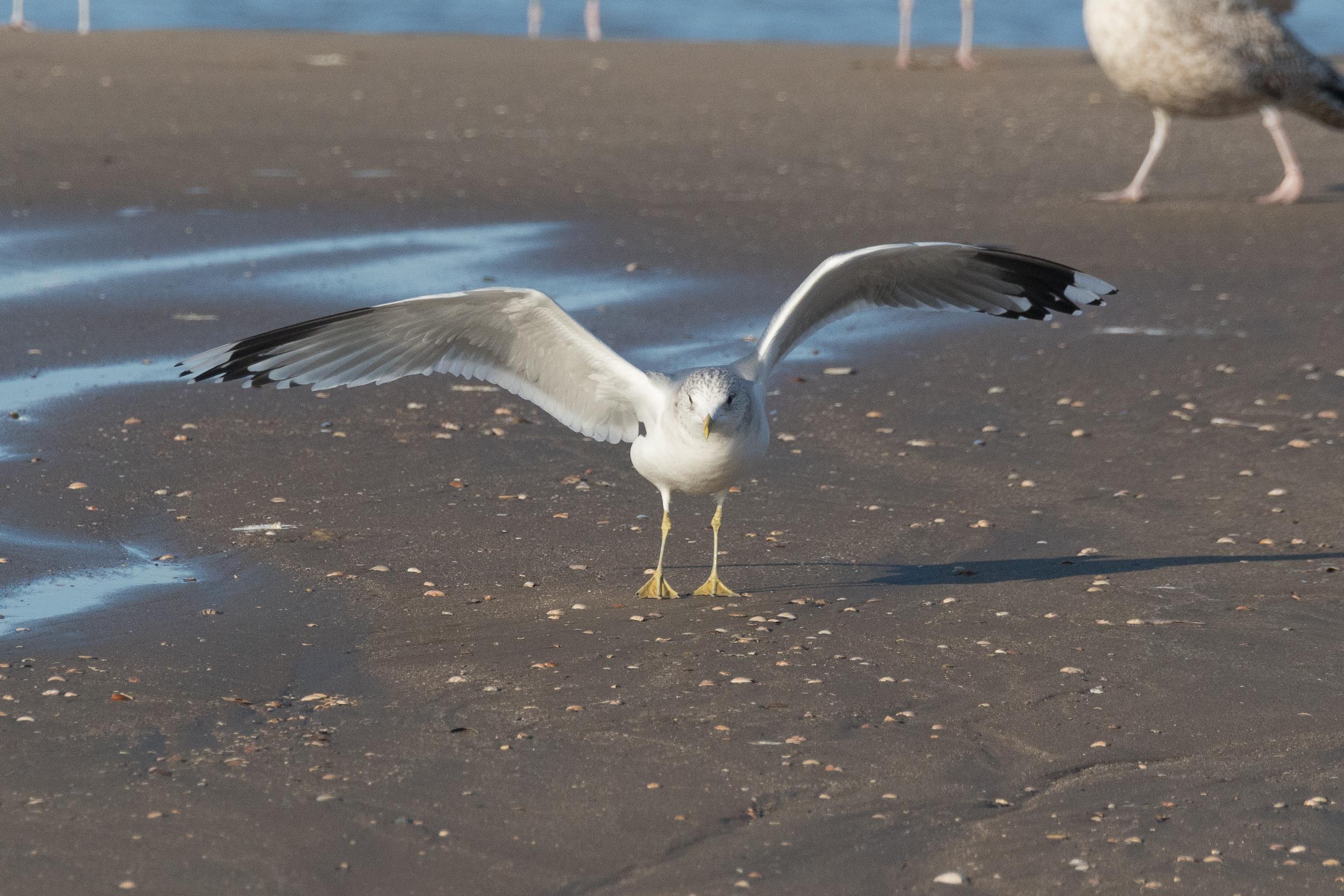 20170121-Common Gull Adult-19.jpg