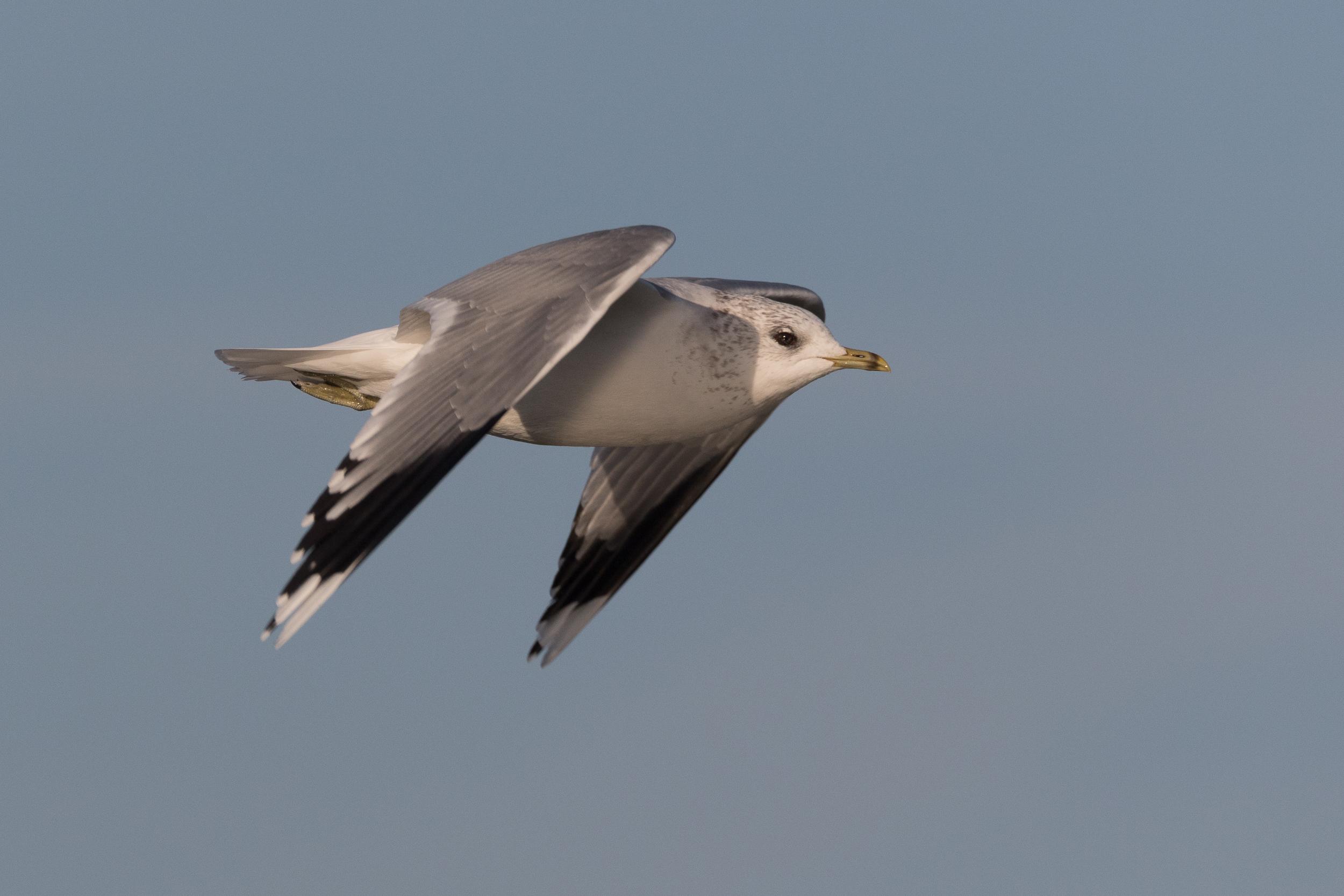 20170121-Common Gull Adult-21.jpg