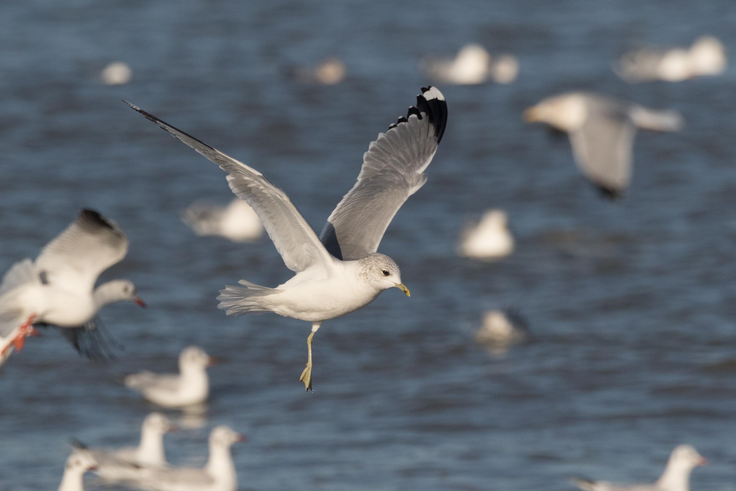 20170121-Common Gull Adult-27.jpg