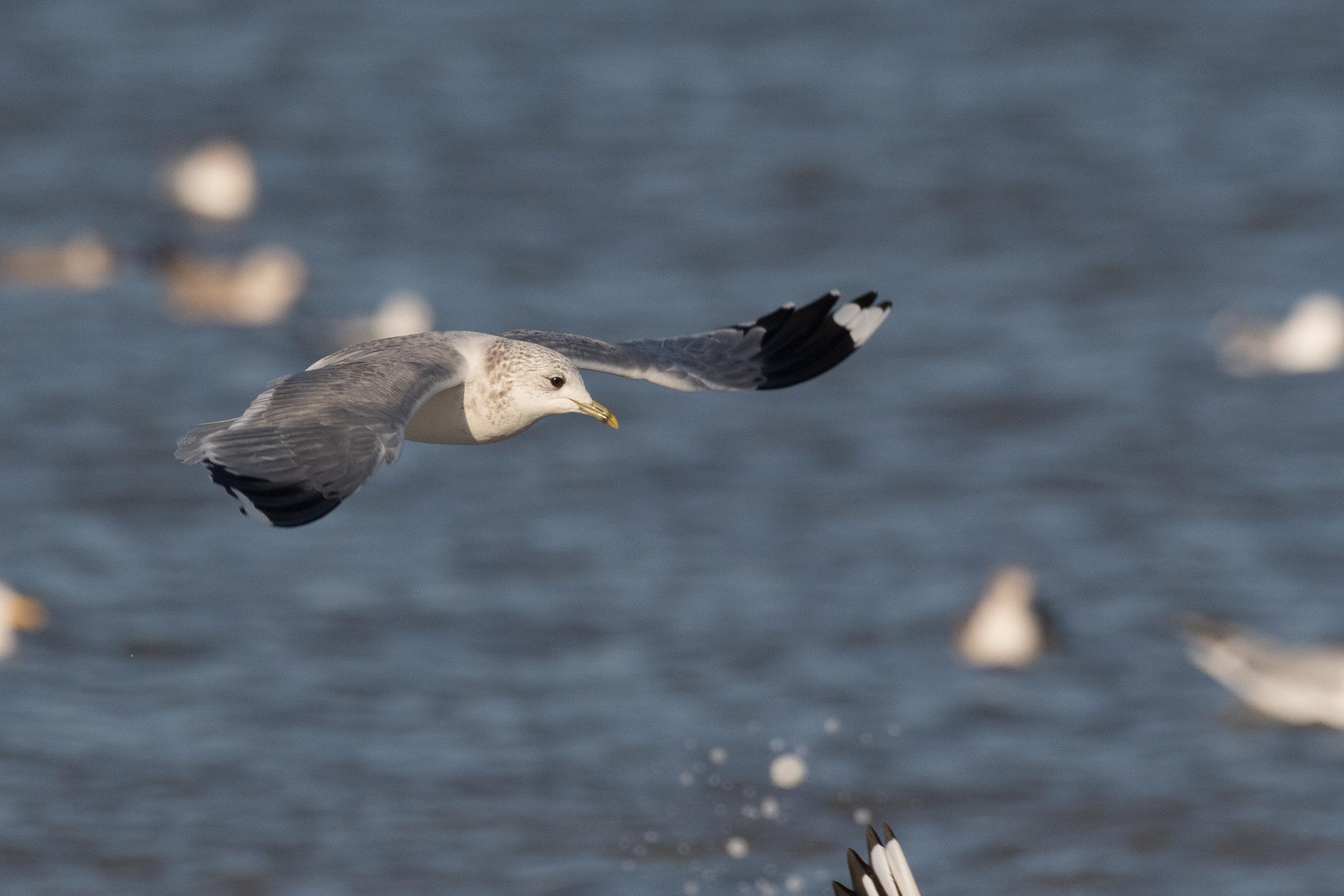 20170121-Common Gull Adult-29.jpg