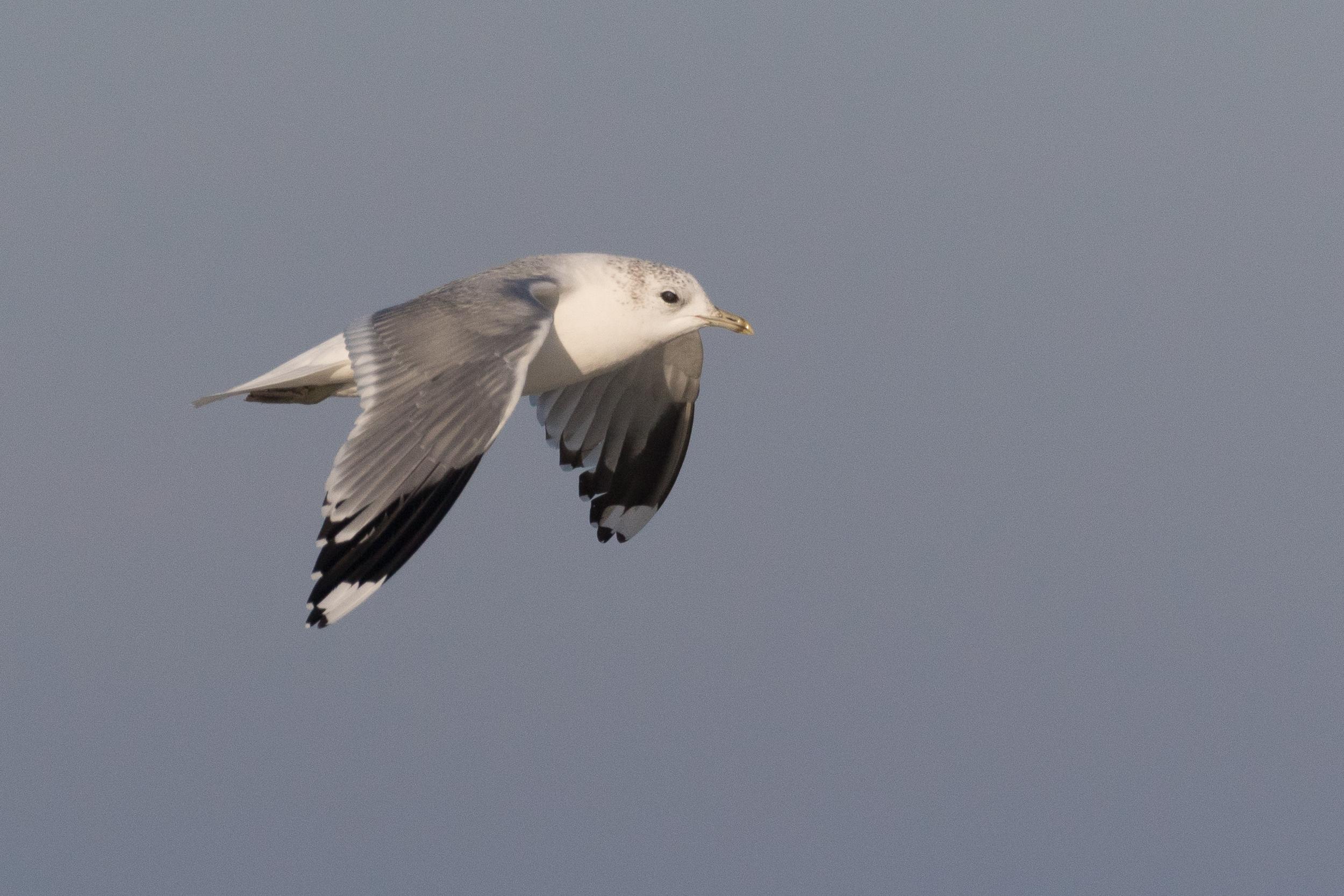 20170121-Common Gull Adult-33.jpg