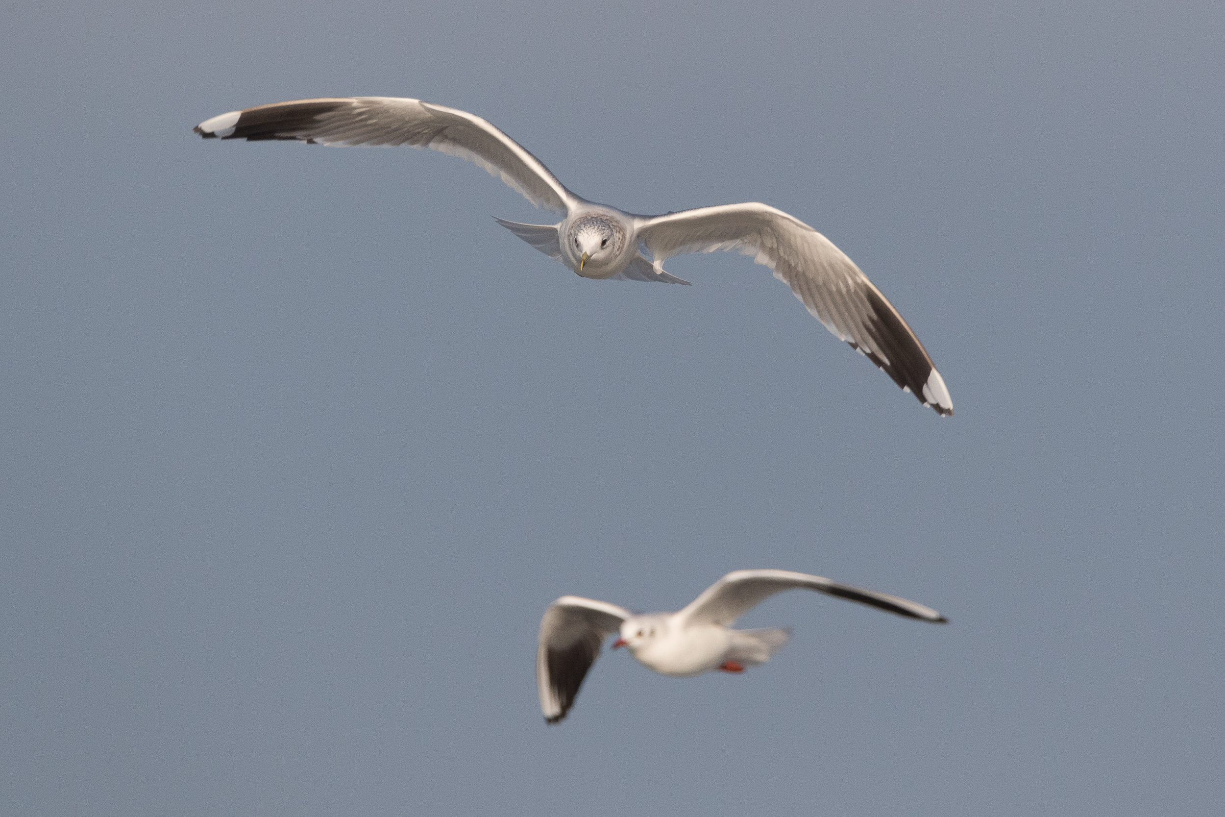 20170121-Common Gull Adult-35.jpg