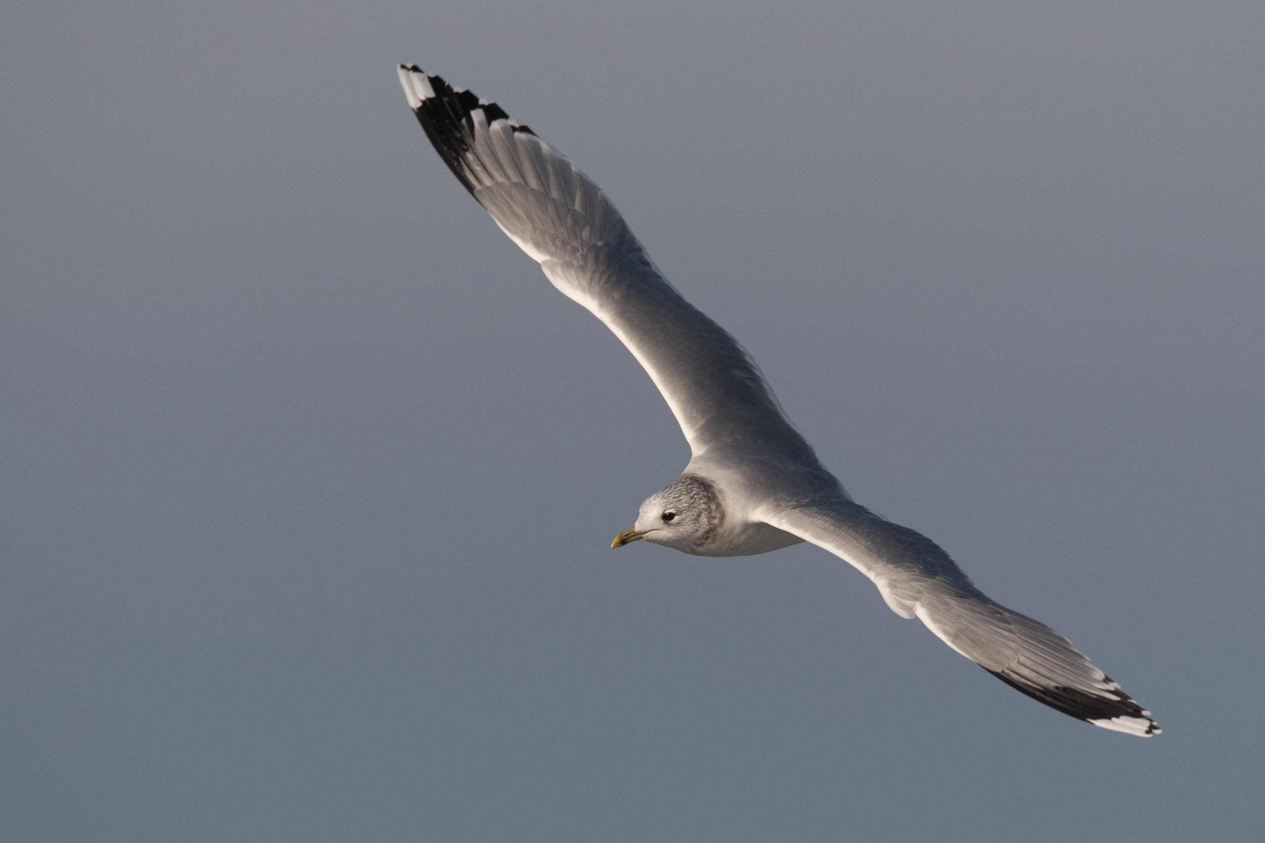 20170121-Common Gull Adult-36.jpg