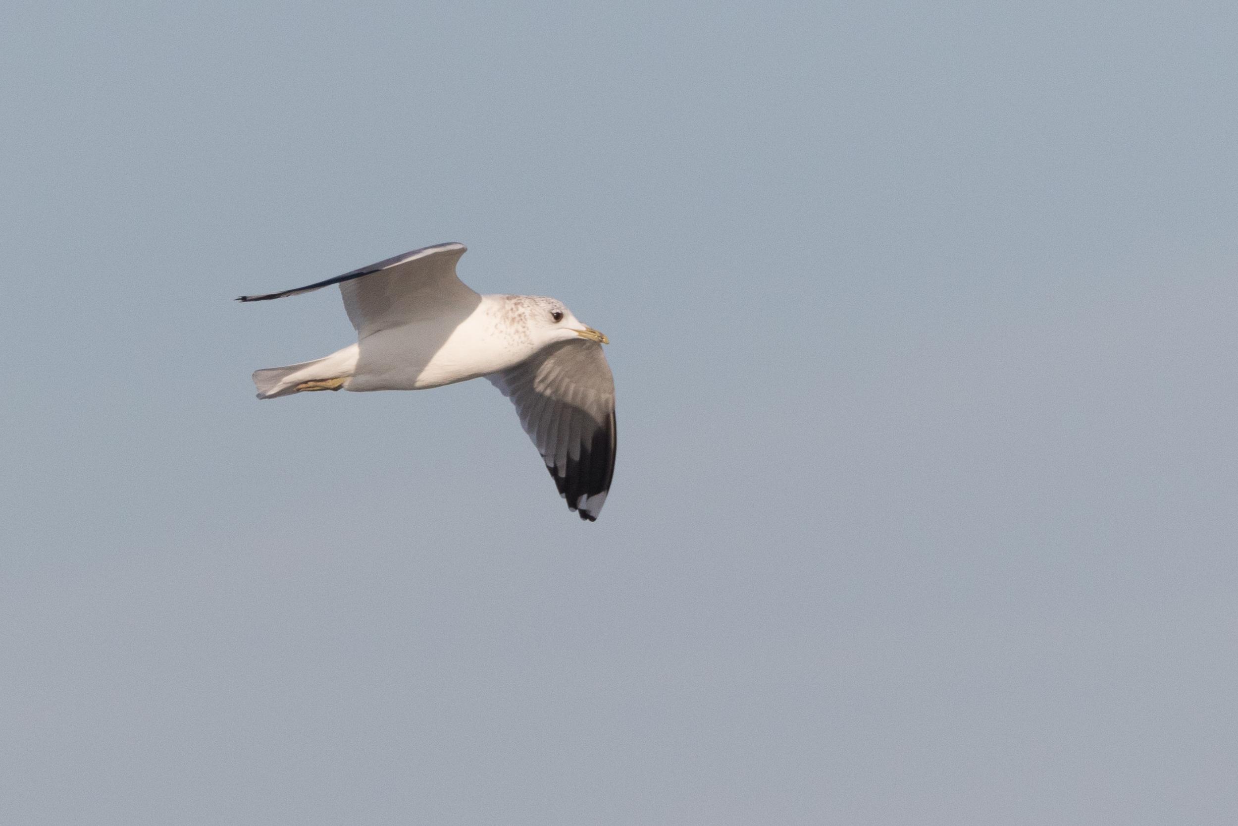 20170121-Common Gull Adult-49.jpg
