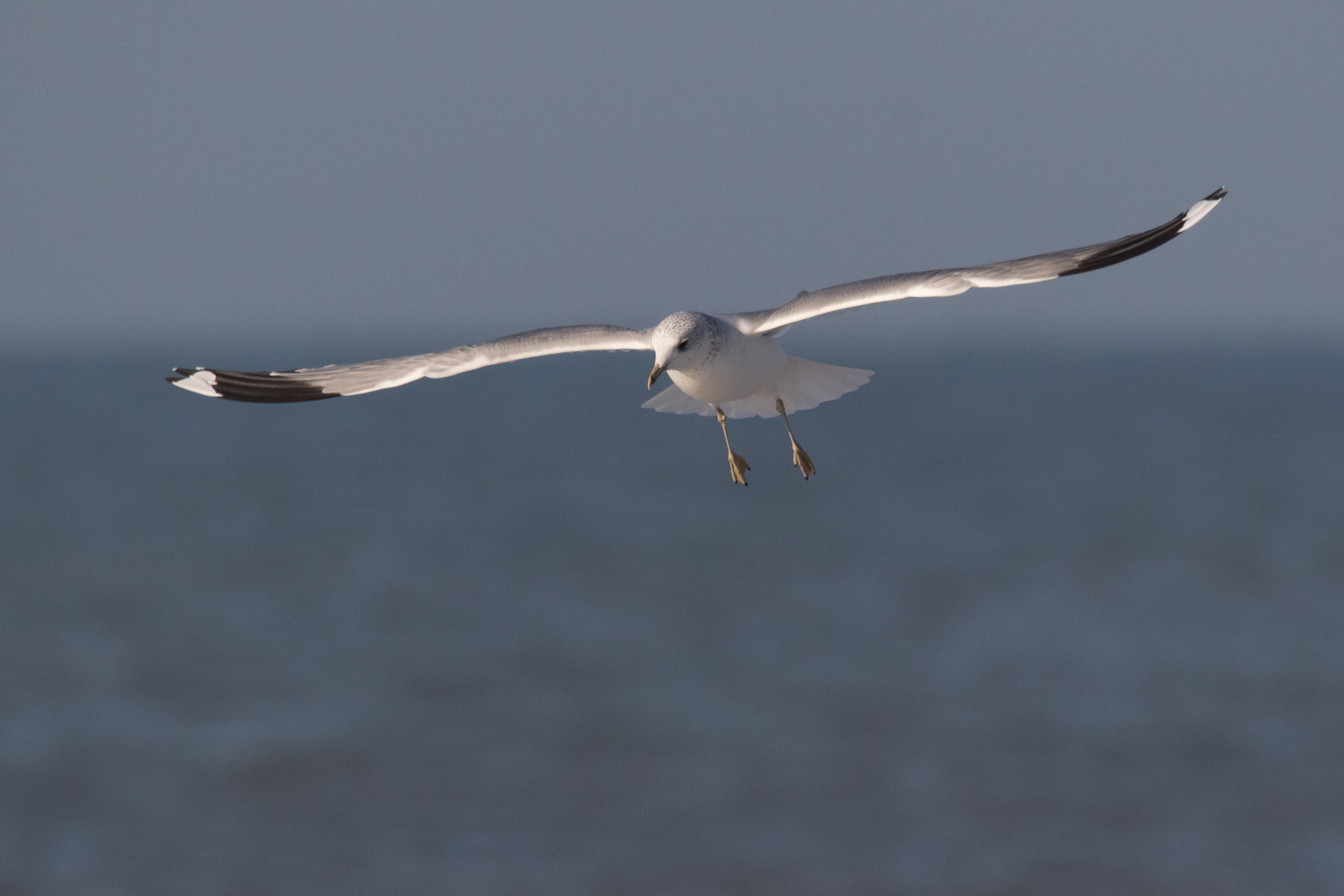 20170121-Common Gull Adult-50.jpg