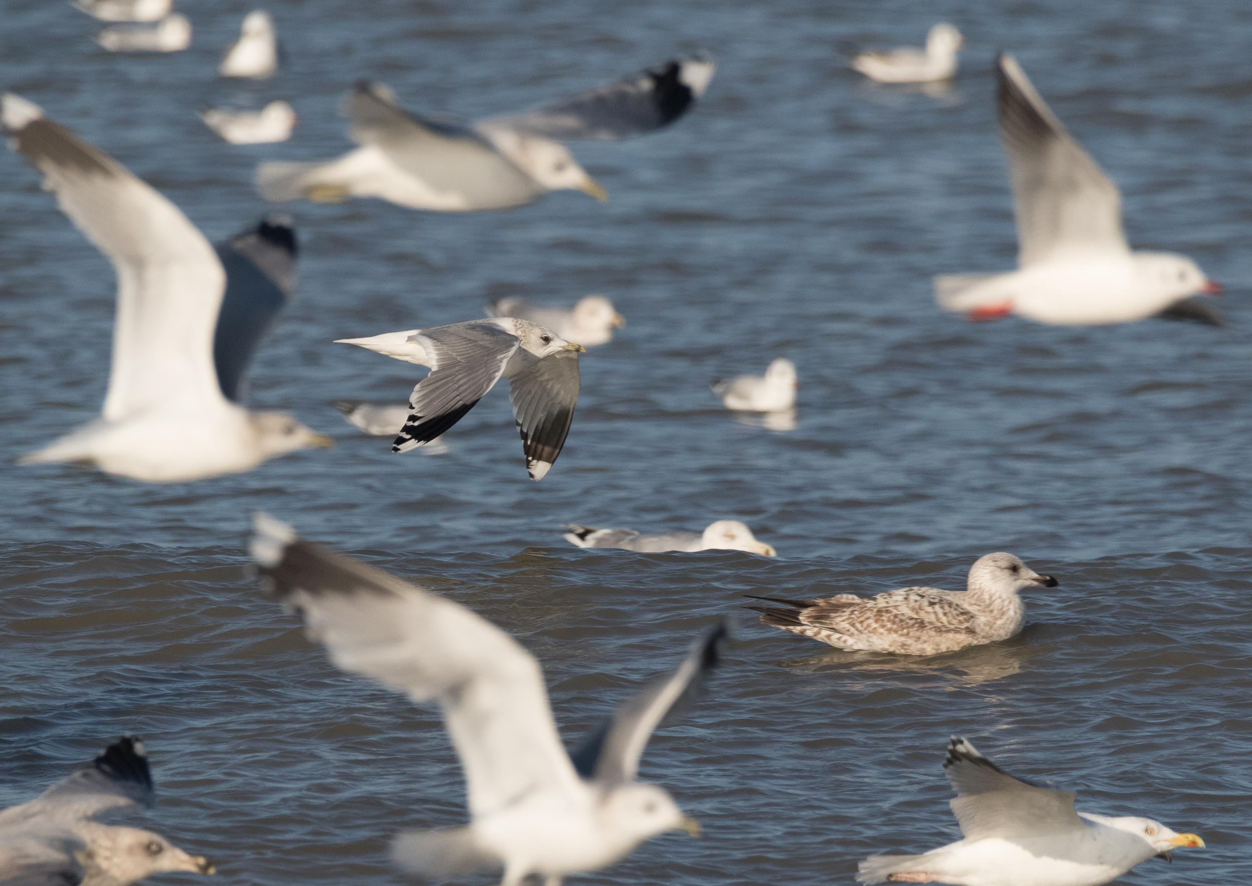 20170121-Common Gull Adult-54.jpg