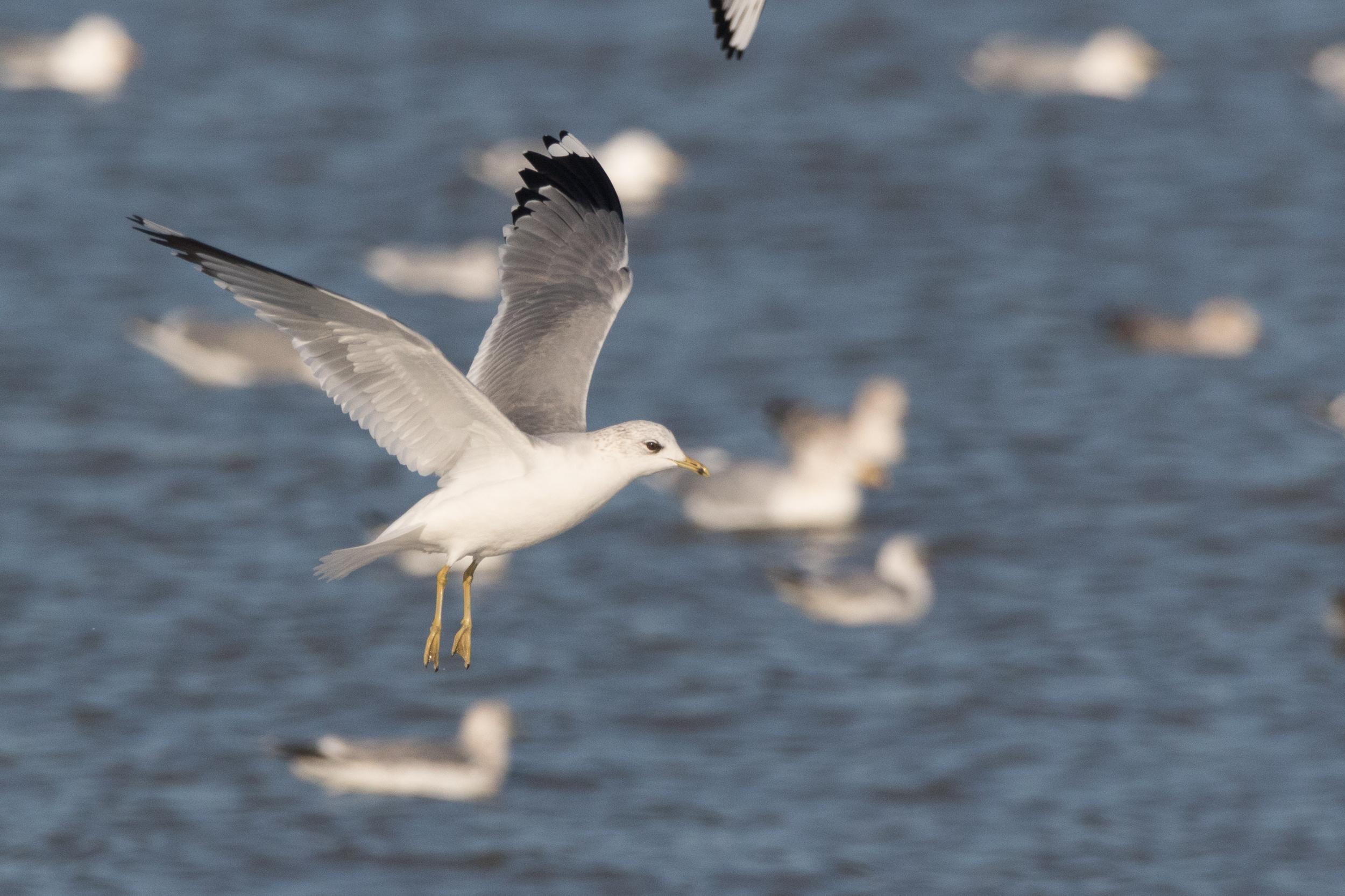 20170121-Common Gull Adult-59.jpg