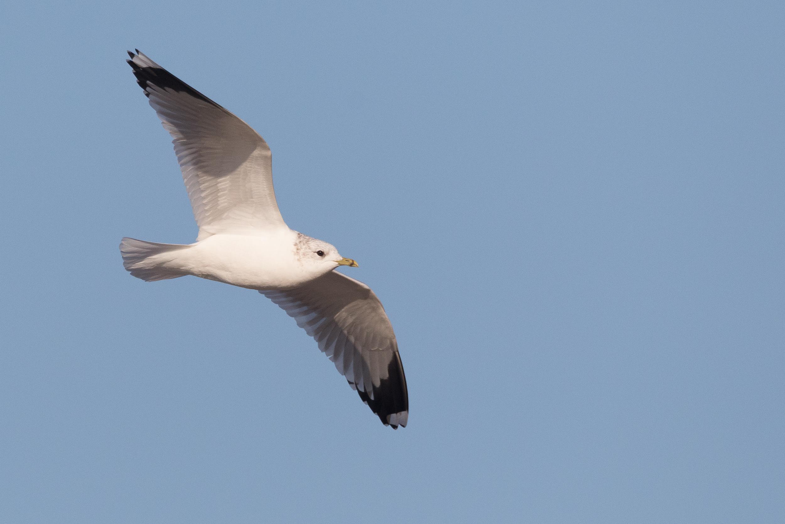20170121-Common Gull Adult-62.jpg