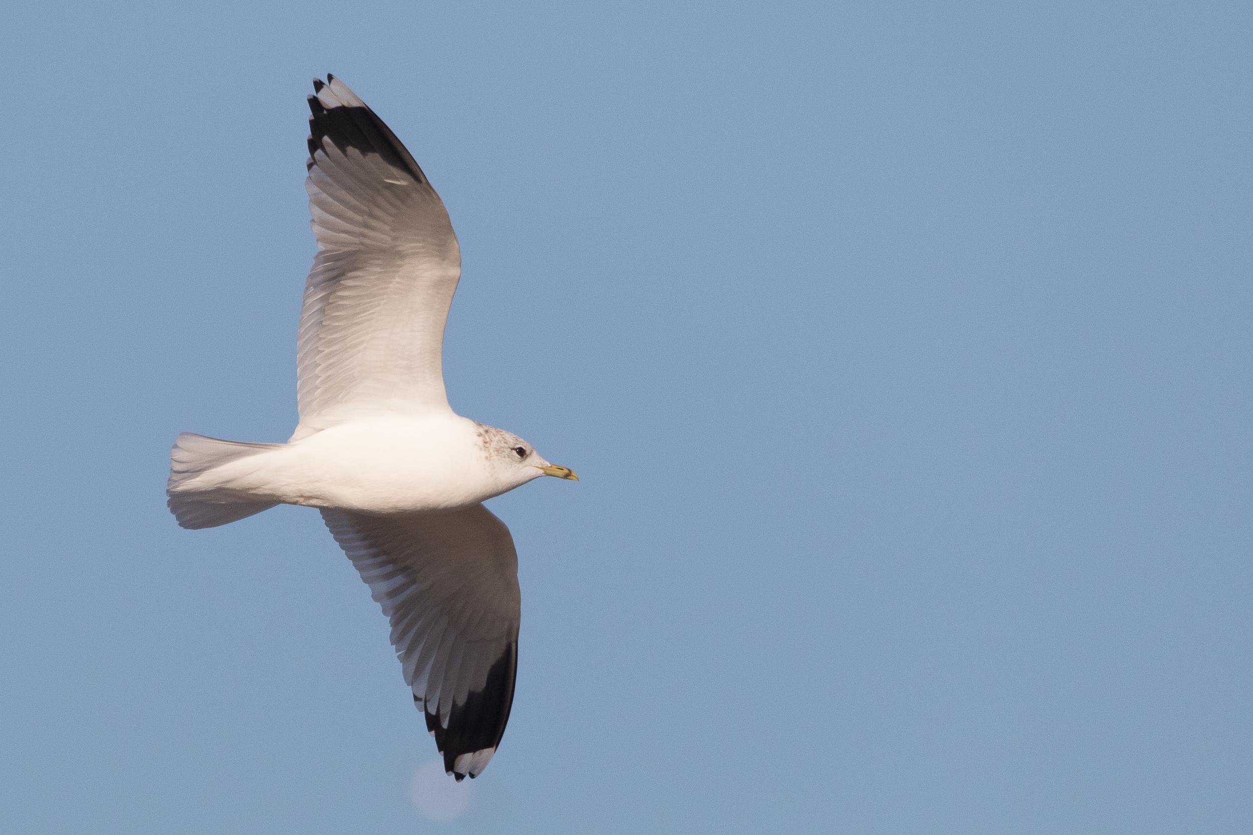 20170121-Common Gull Adult-63.jpg