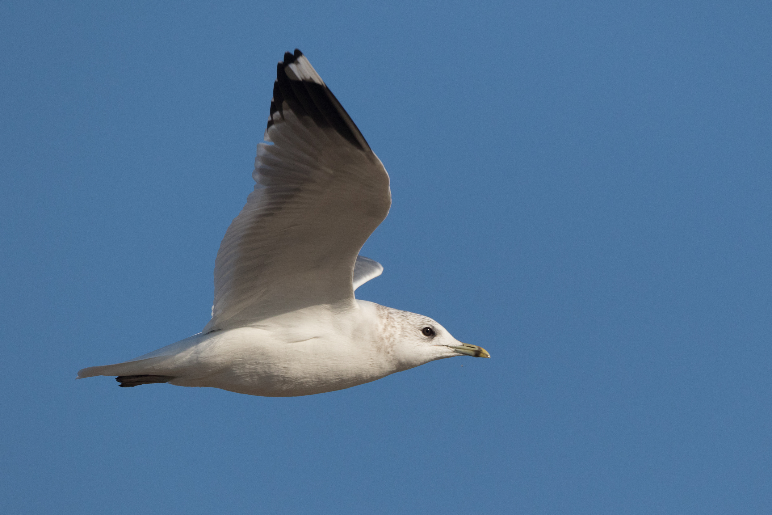 20170121-Common Gull Adult-65.jpg