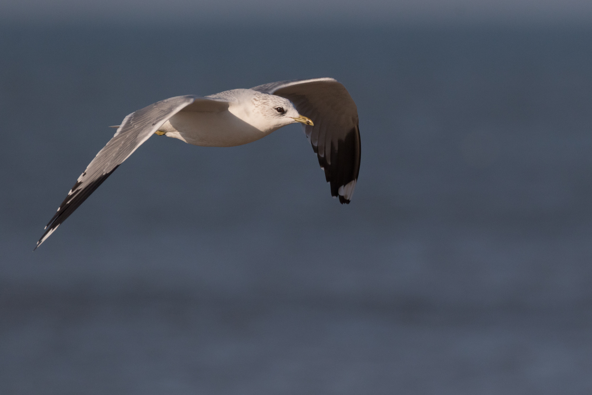 20170121-Common Gull Adult-67.jpg