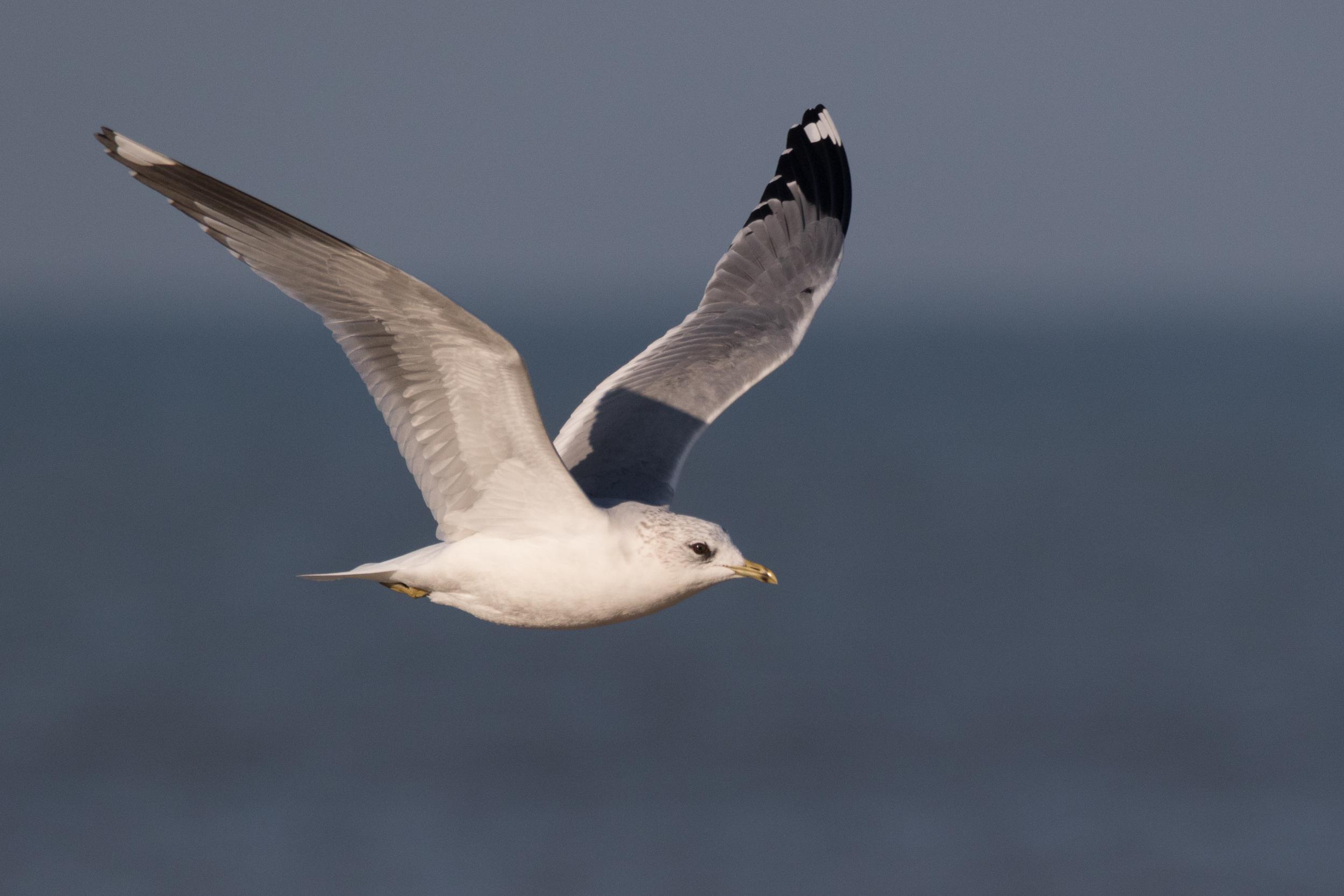 20170121-Common Gull Adult-68.jpg