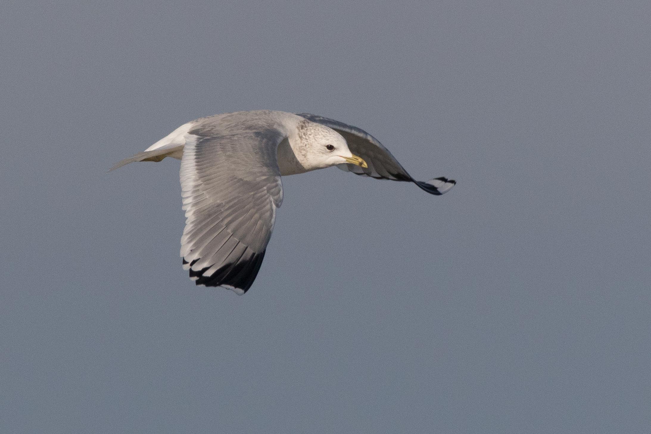 20170121-Common Gull Adult-74.jpg