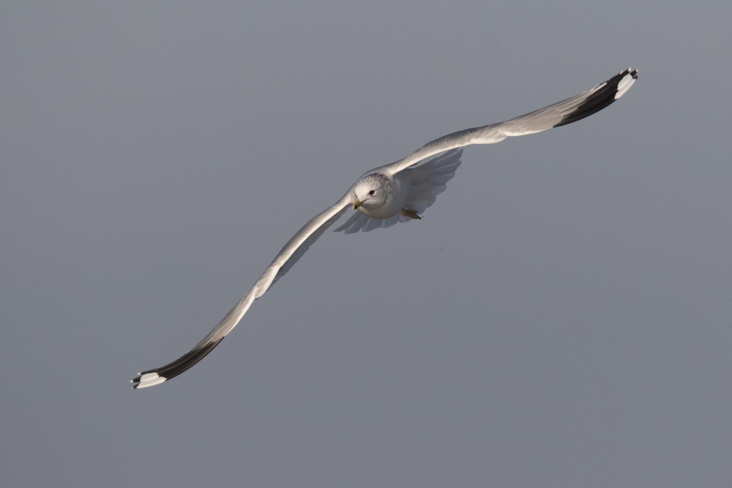 20170121-Common Gull Adult-76.jpg