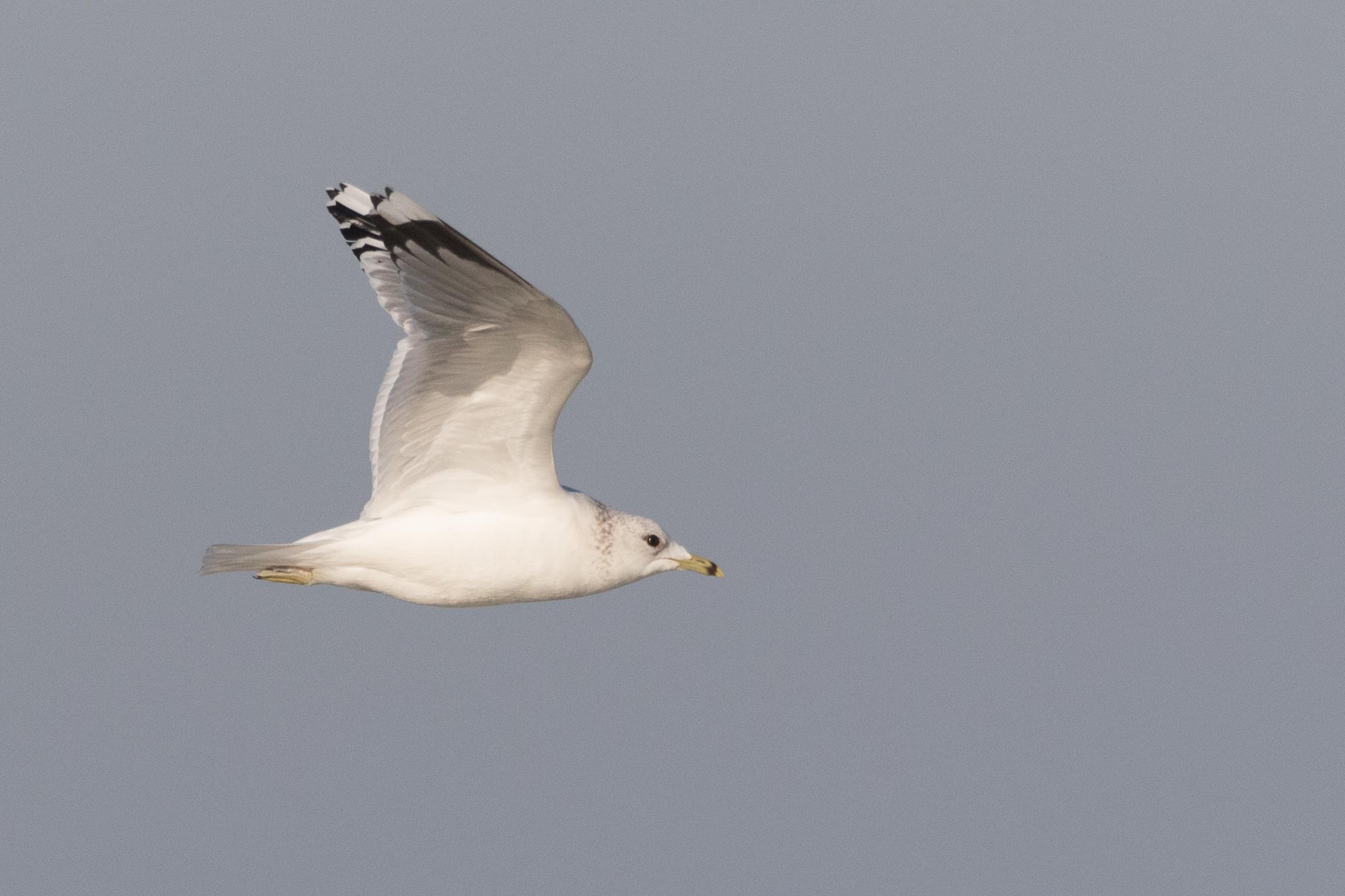 20170121-Common Gull Adult-78.jpg