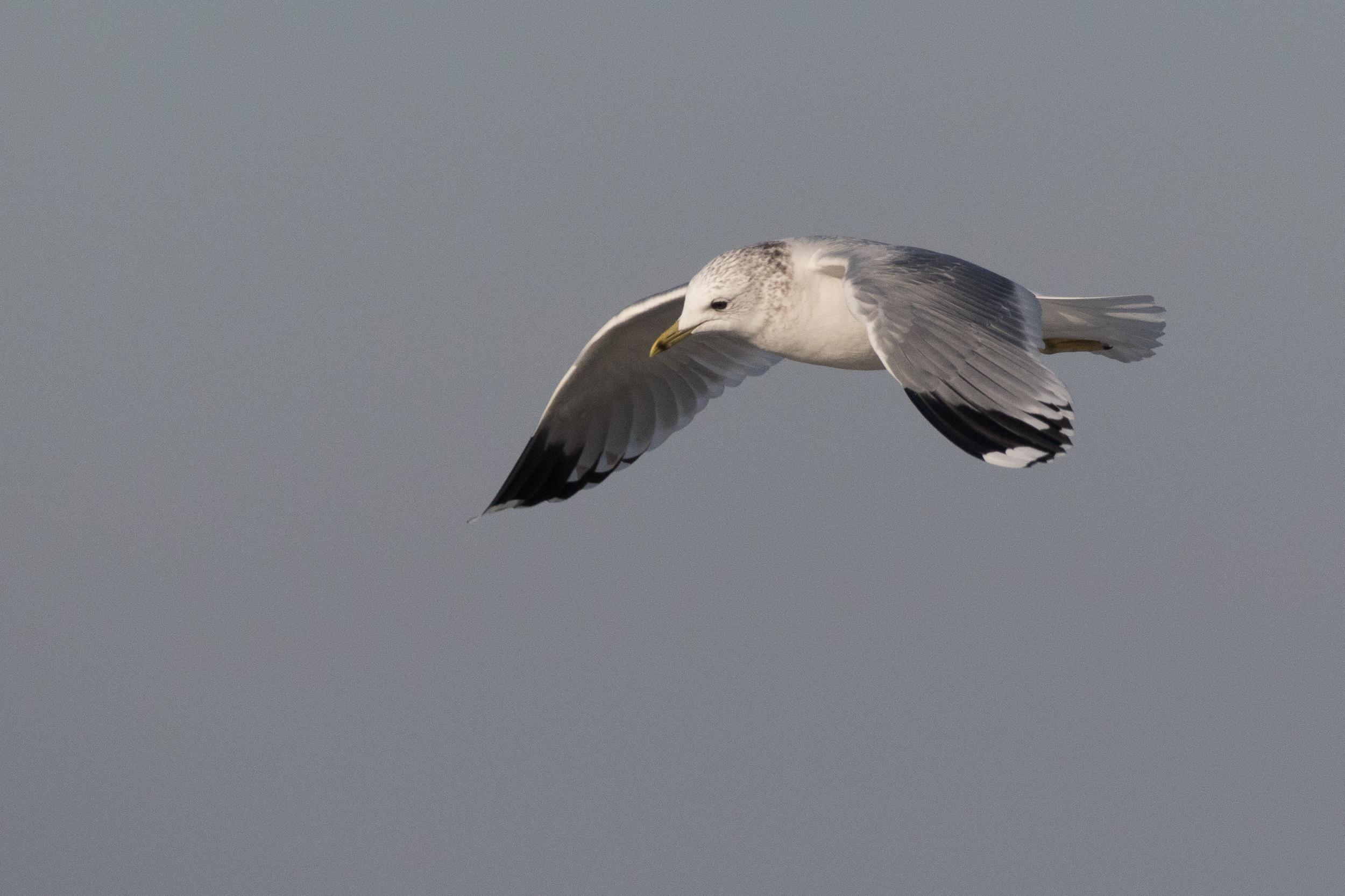 20170121-Common Gull Adult-77.jpg