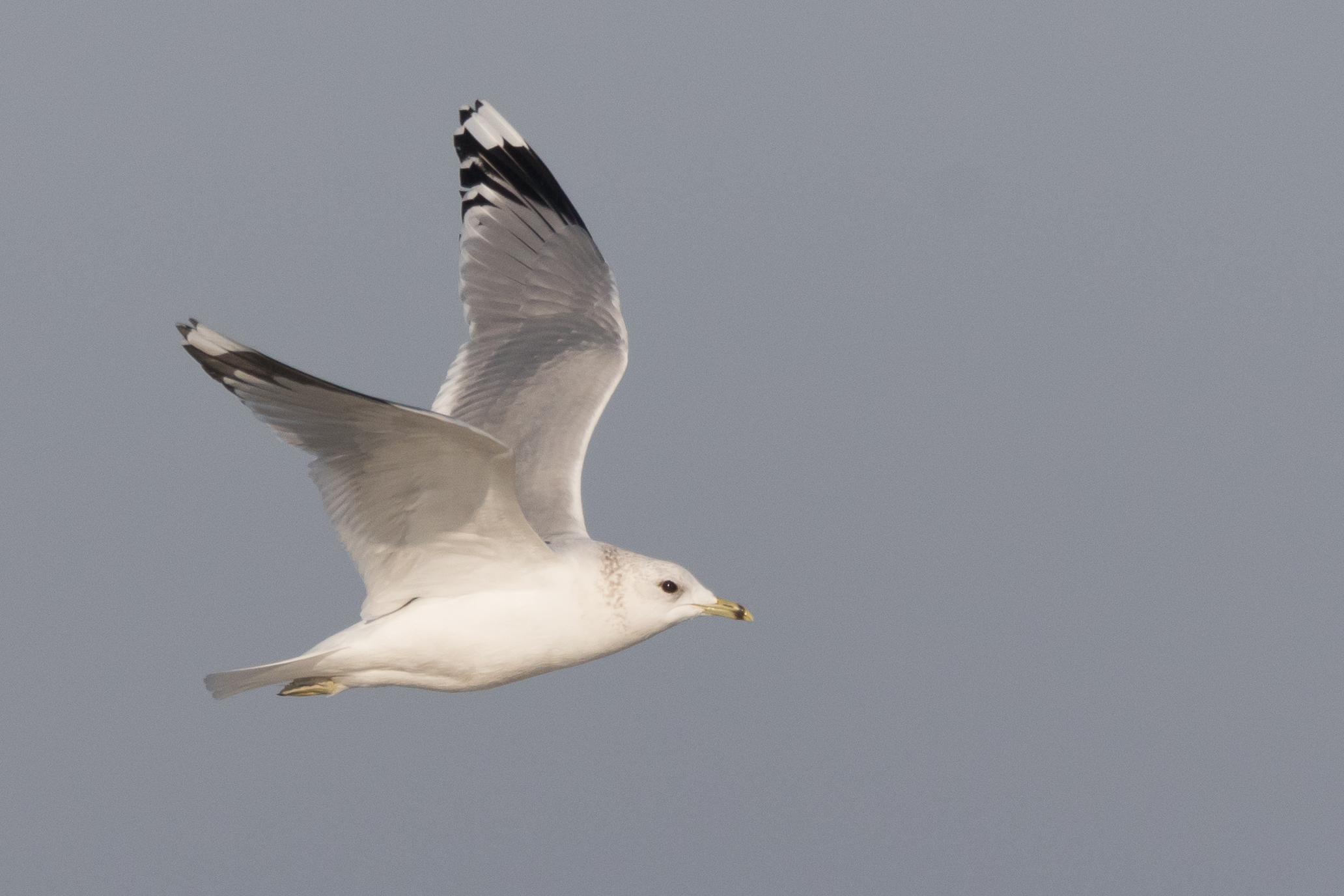 20170121-Common Gull Adult-81.jpg