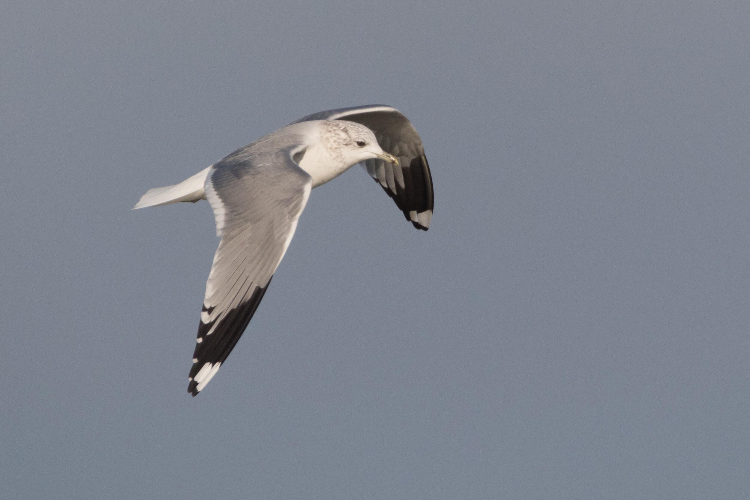 20170121-Common Gull Adult-84.jpg