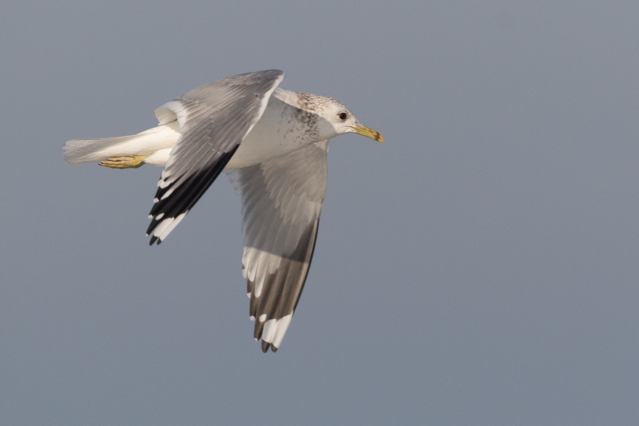 20170121-Common Gull Adult-85.jpg