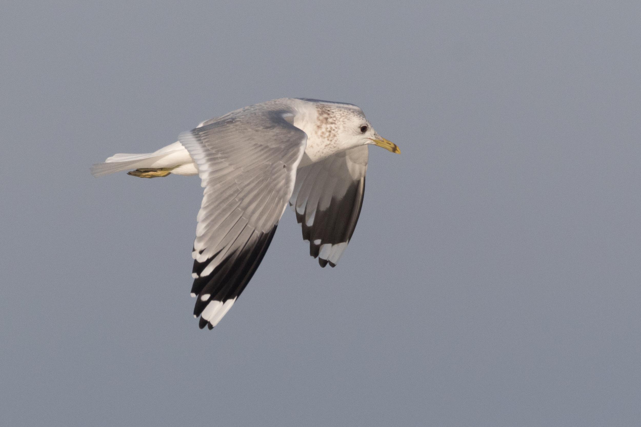 20170121-Common Gull Adult-86.jpg