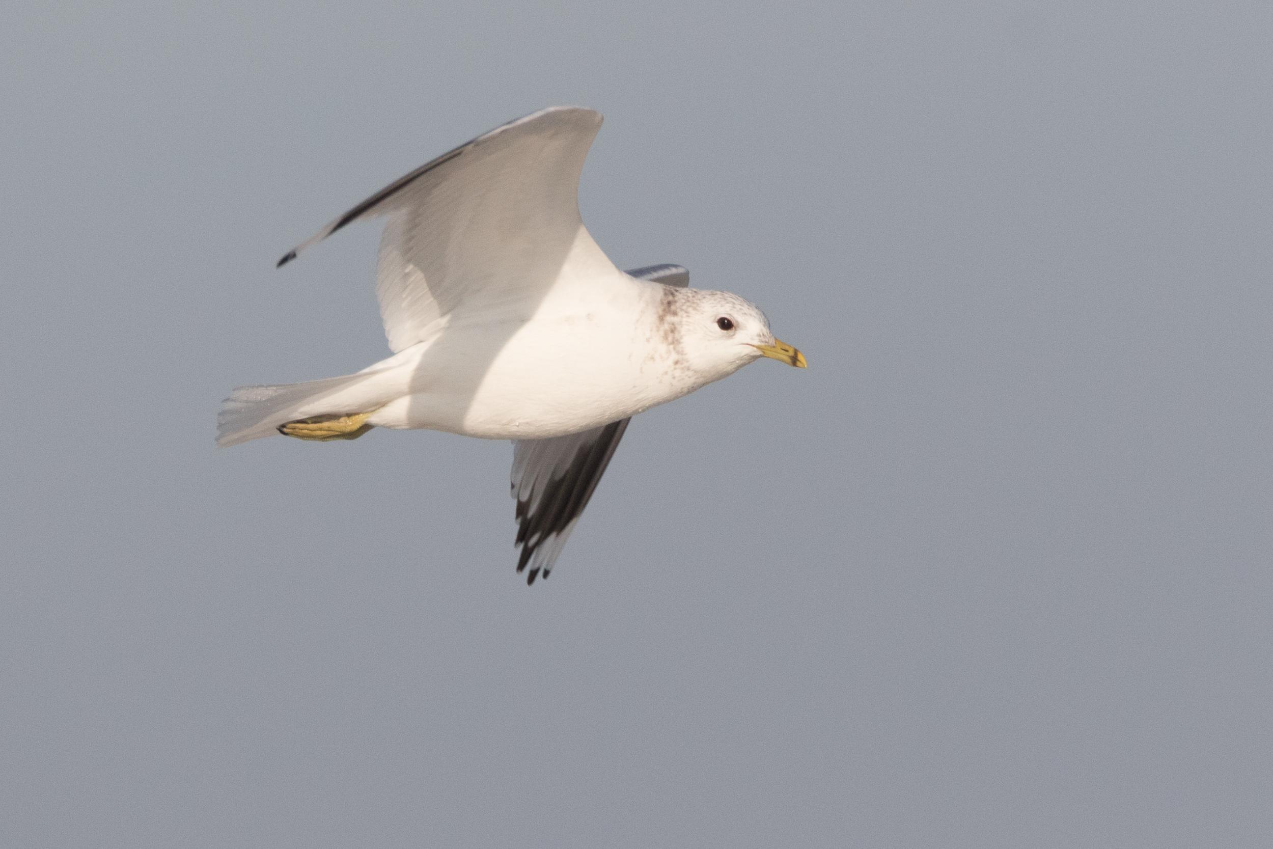 20170121-Common Gull Adult-87.jpg