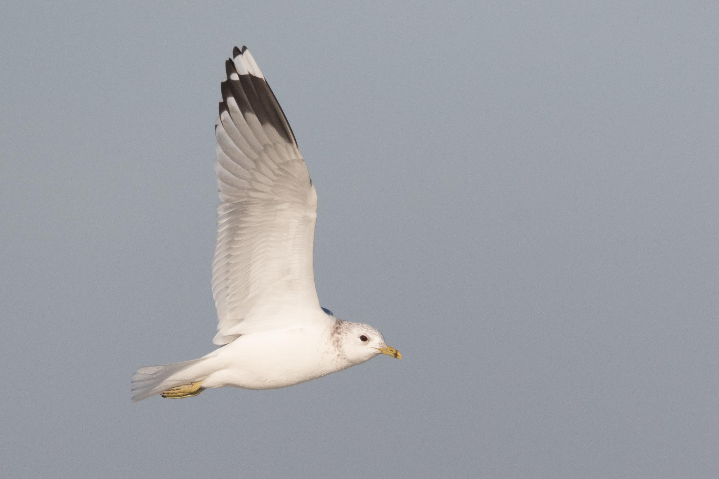 20170121-Common Gull Adult-88.jpg