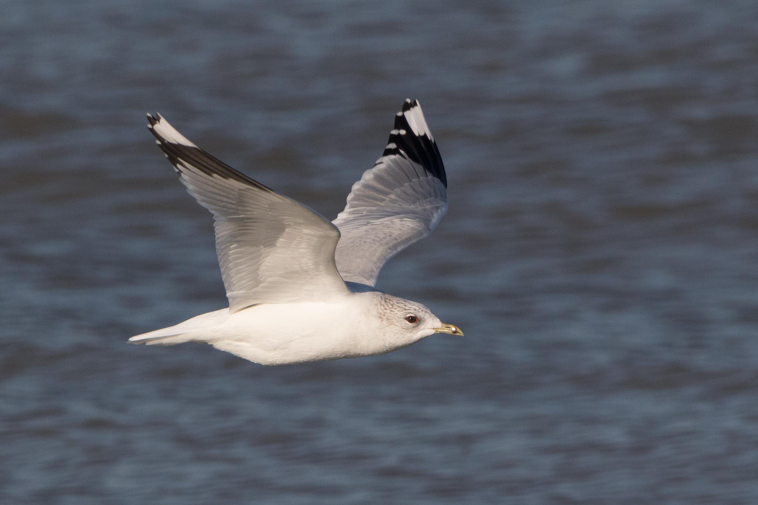 20170121-Common Gull Adult-89.jpg