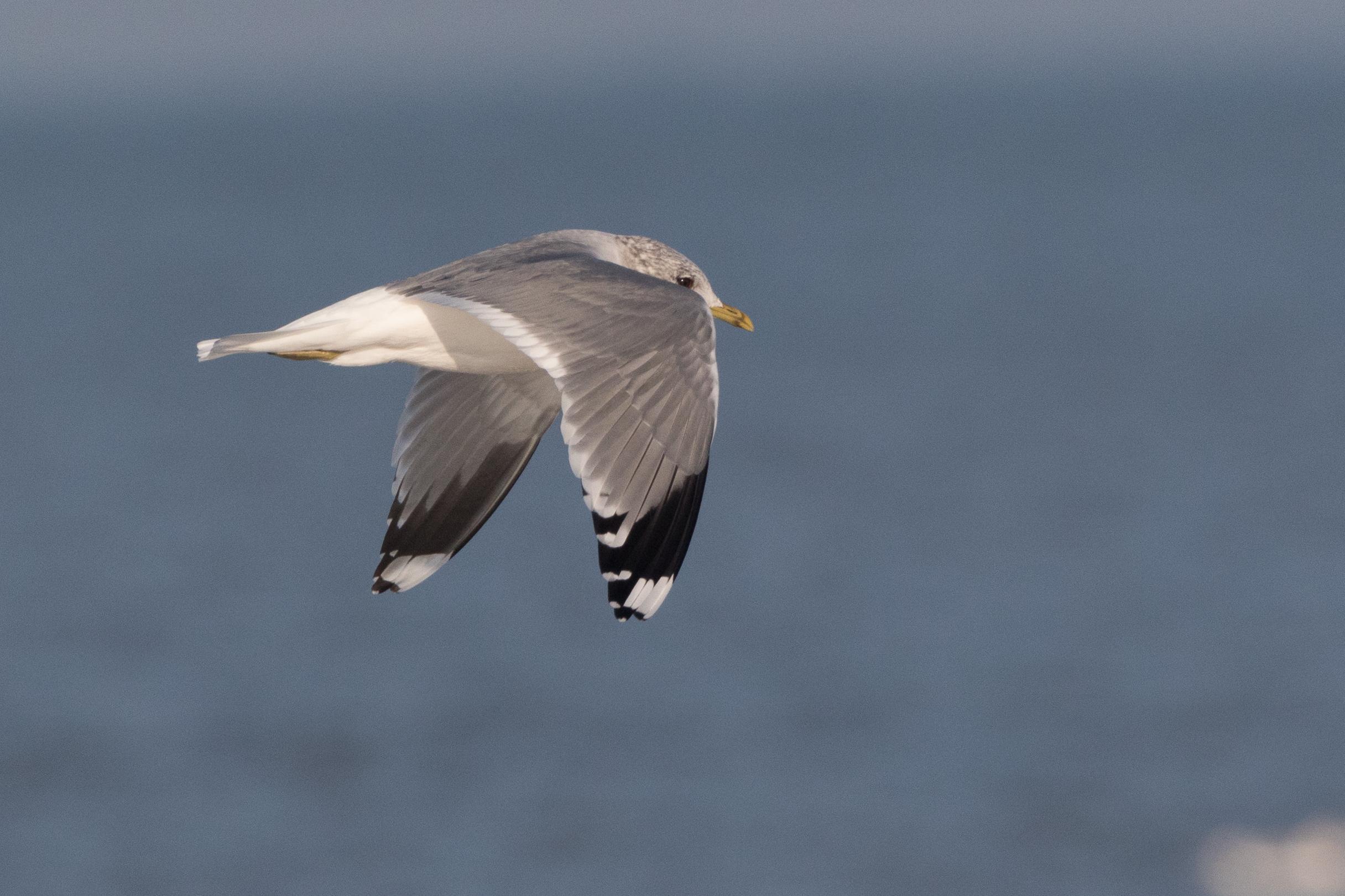 20170121-Common Gull Adult-91.jpg