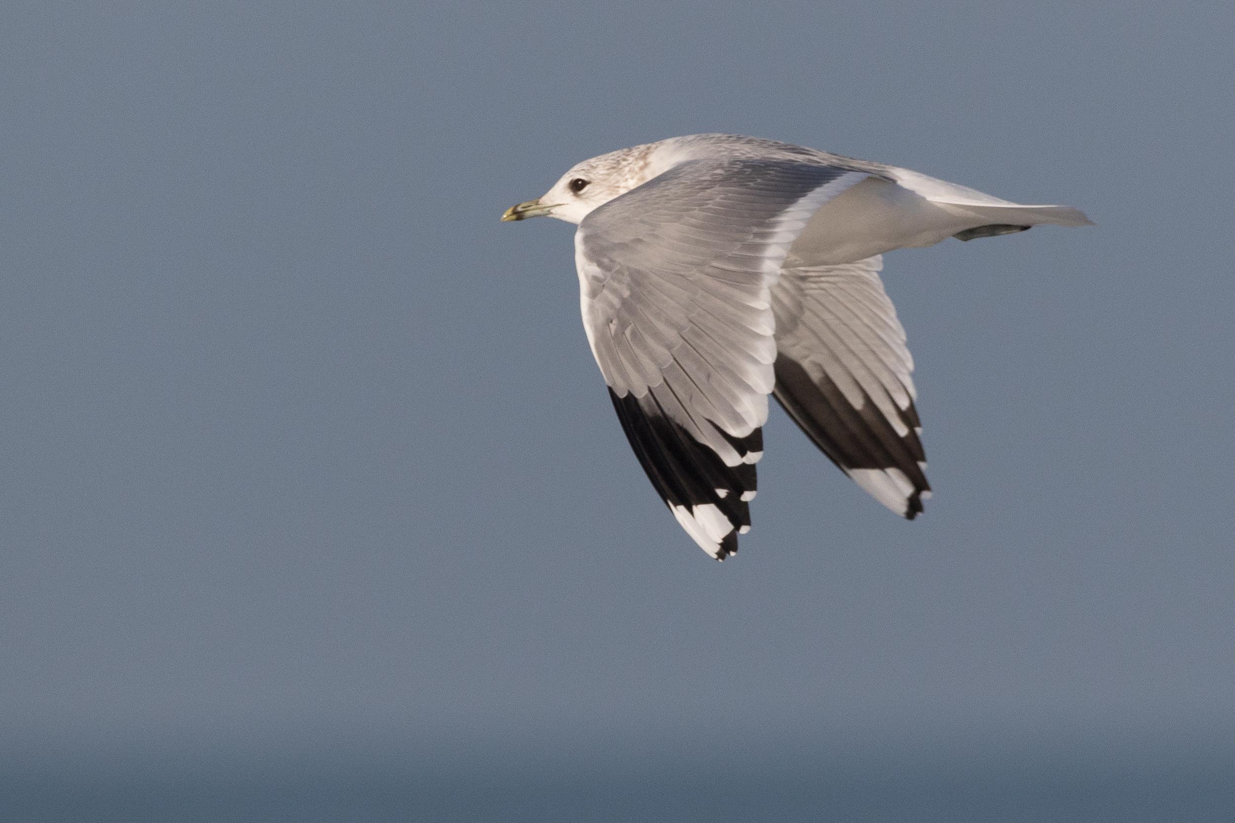20170121-Common Gull Adult-101.jpg