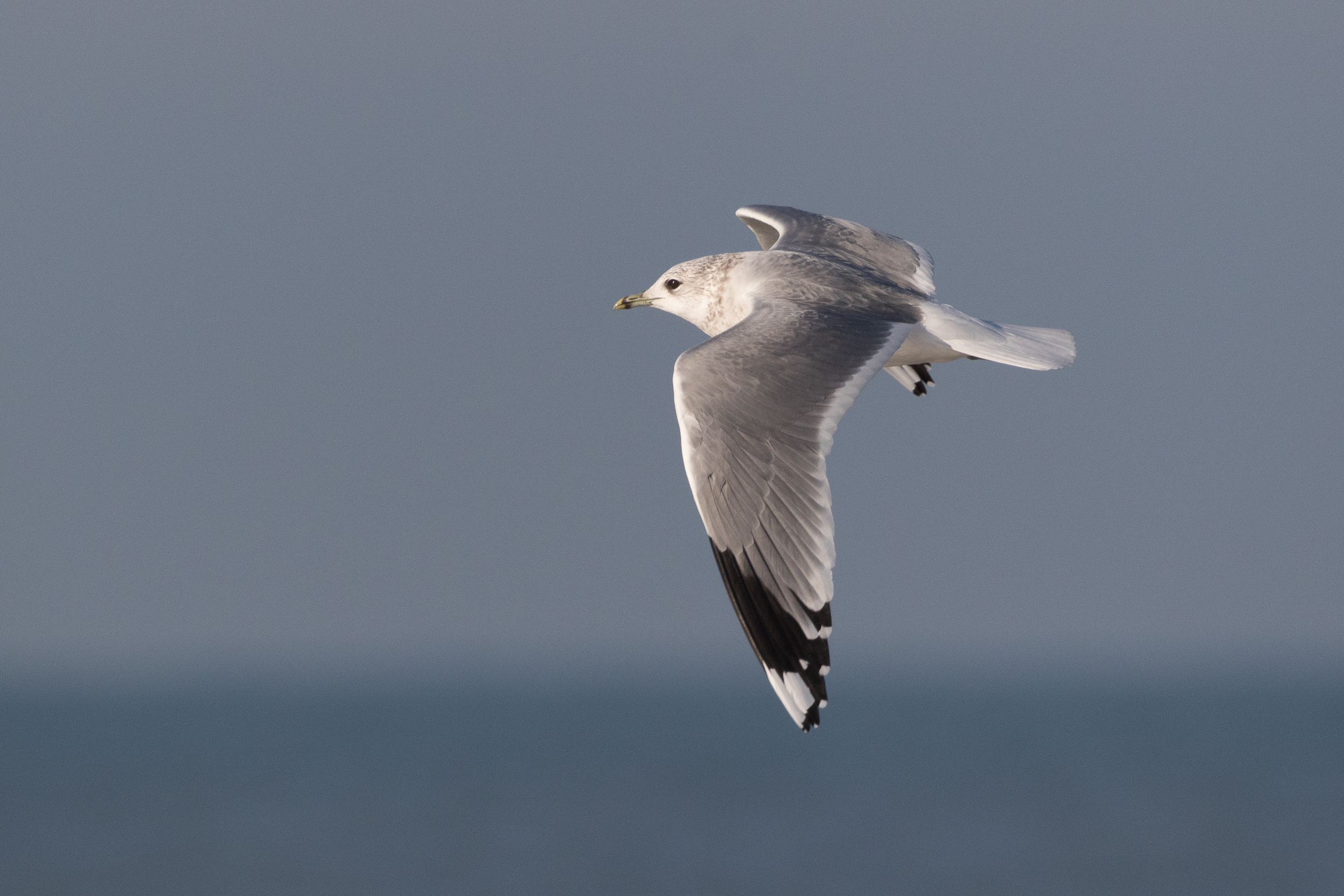 20170121-Common Gull Adult-102.jpg