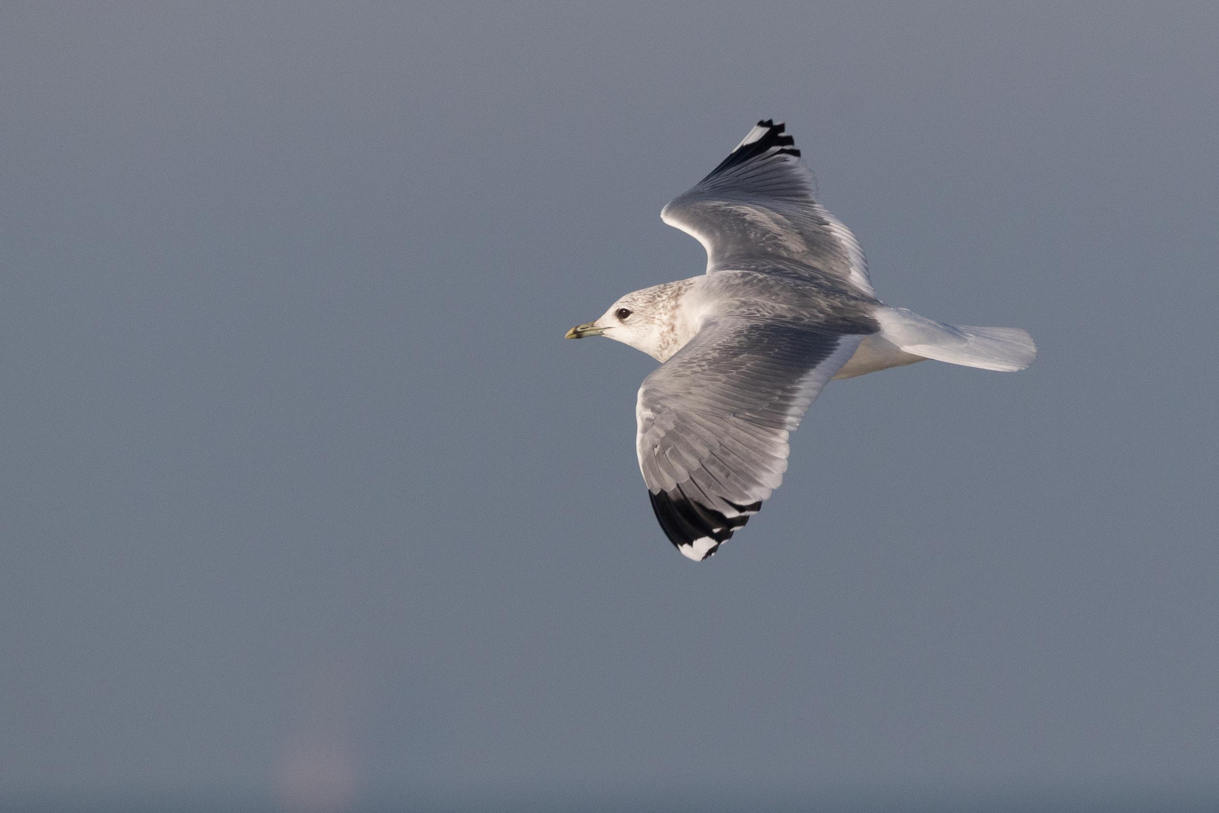 20170121-Common Gull Adult-104.jpg